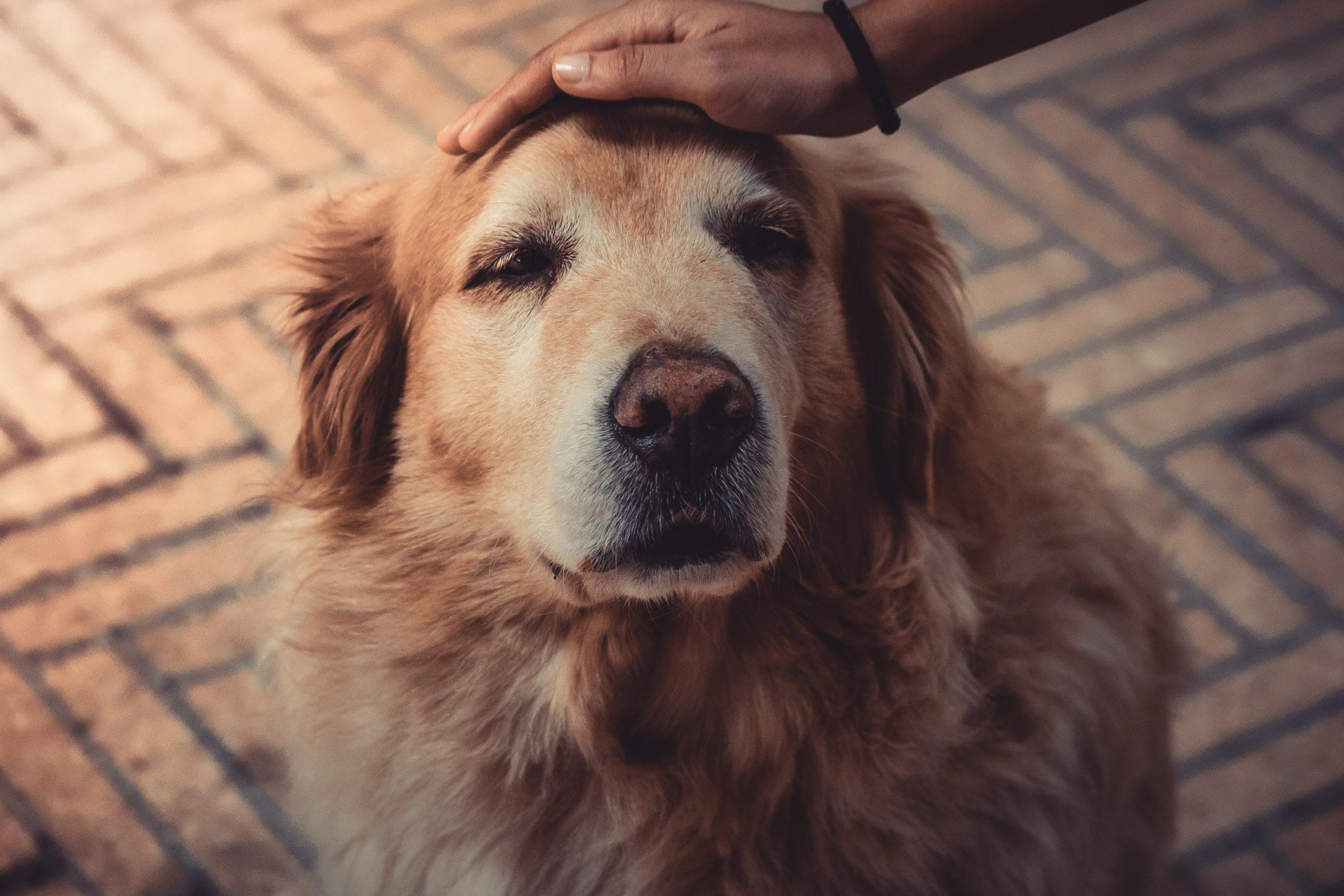Adotar cachorro de abrigo com mais idade poder ser uma excelente companhia.