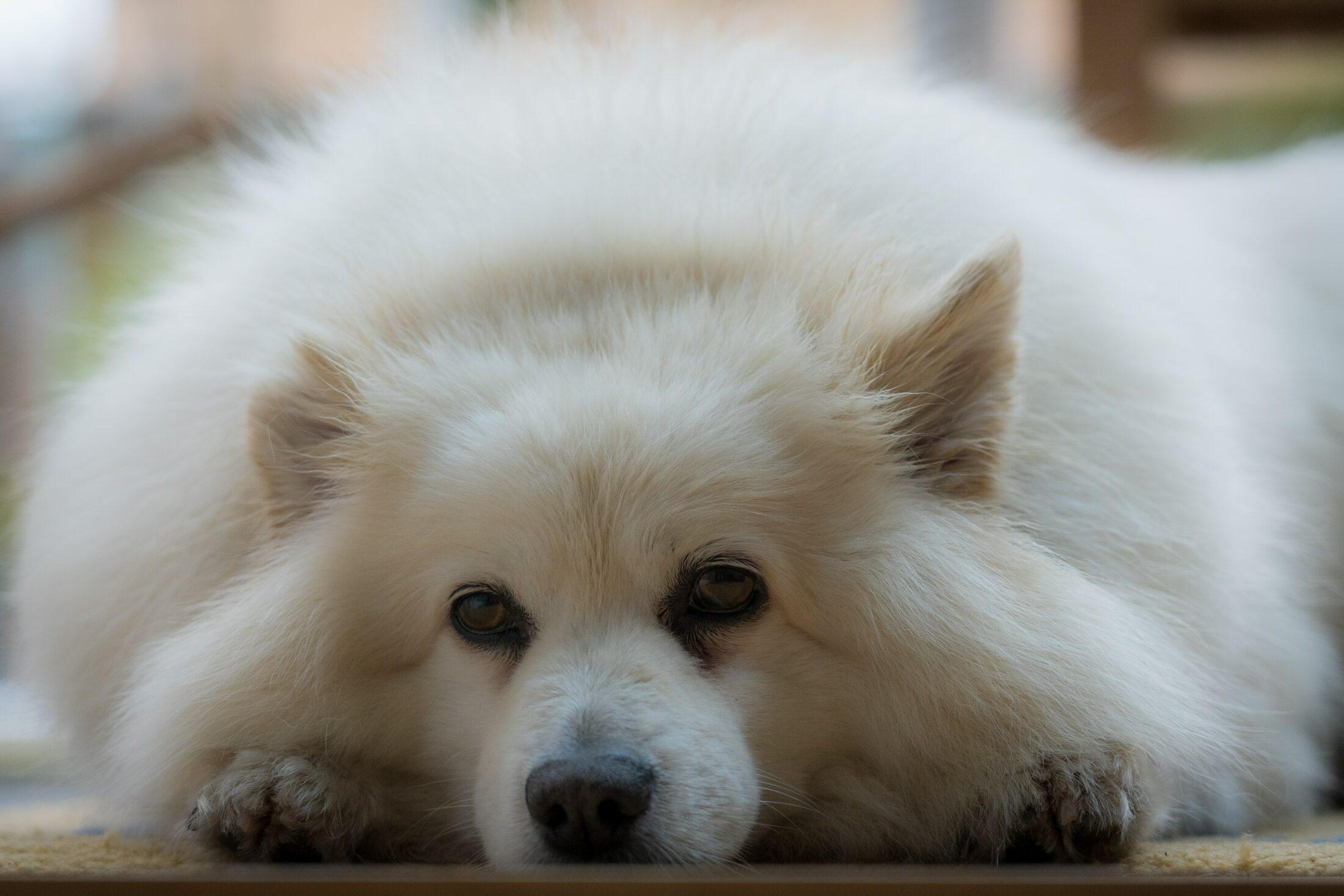 cachorros par aidosos American Eskimo dog