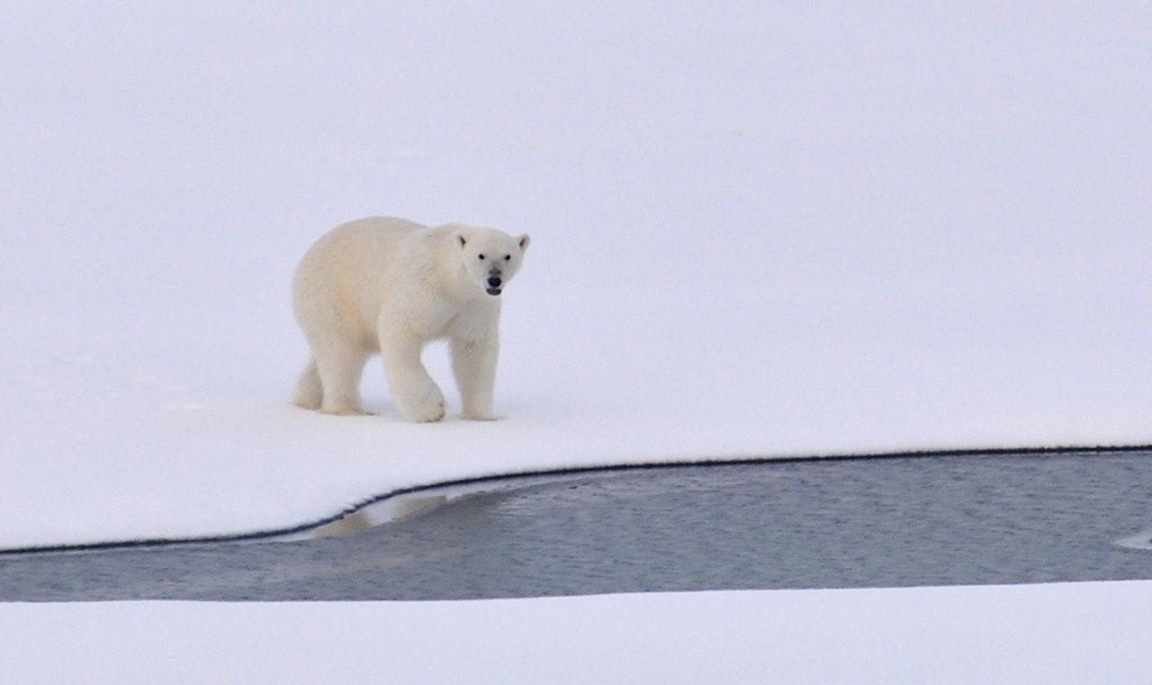 Um urso polar é um dos animais fofos e perigosos
