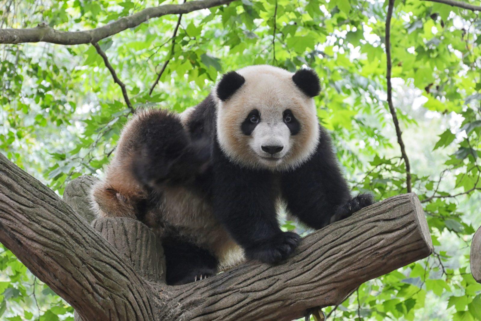 O urso panda é um dos animais fofos e perigosos mais populares.