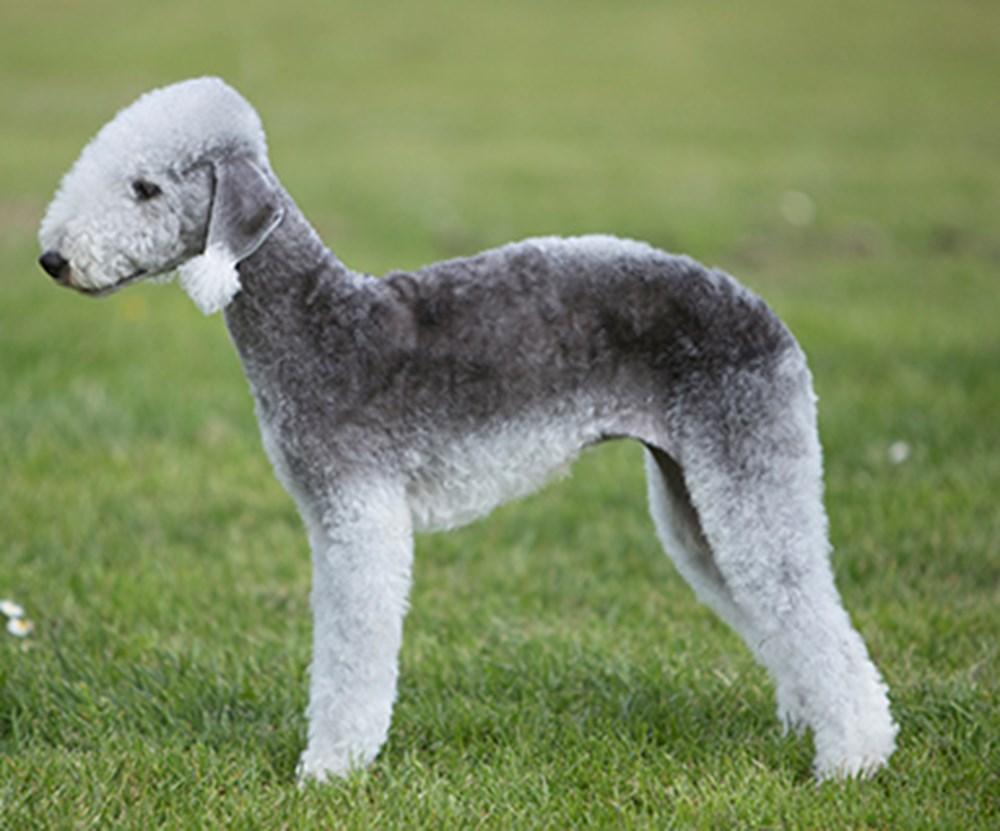 Raça de cachorro rara - BEDLINGTON TERRIER