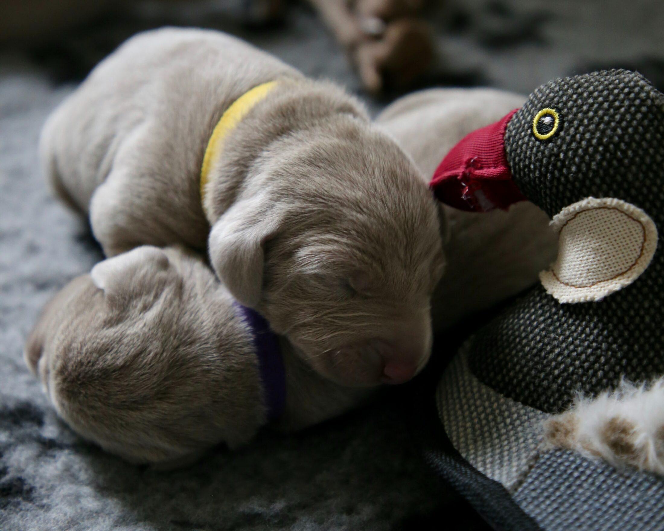 filhote dormindo em cima de brinquedos