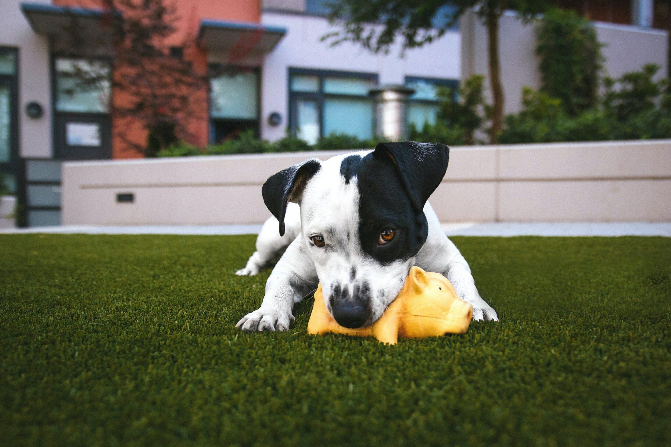 cachorro mordendo brinquedo barulhento na grama