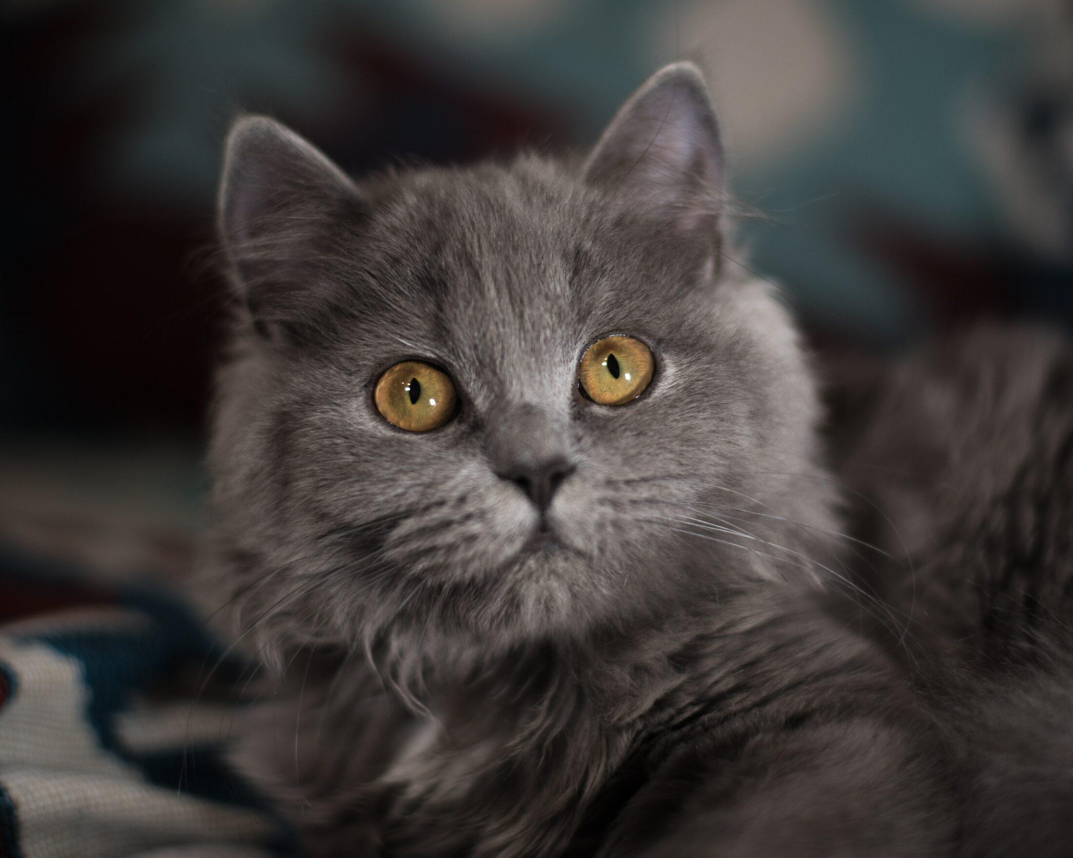Gatos de pelos longos British Longhair