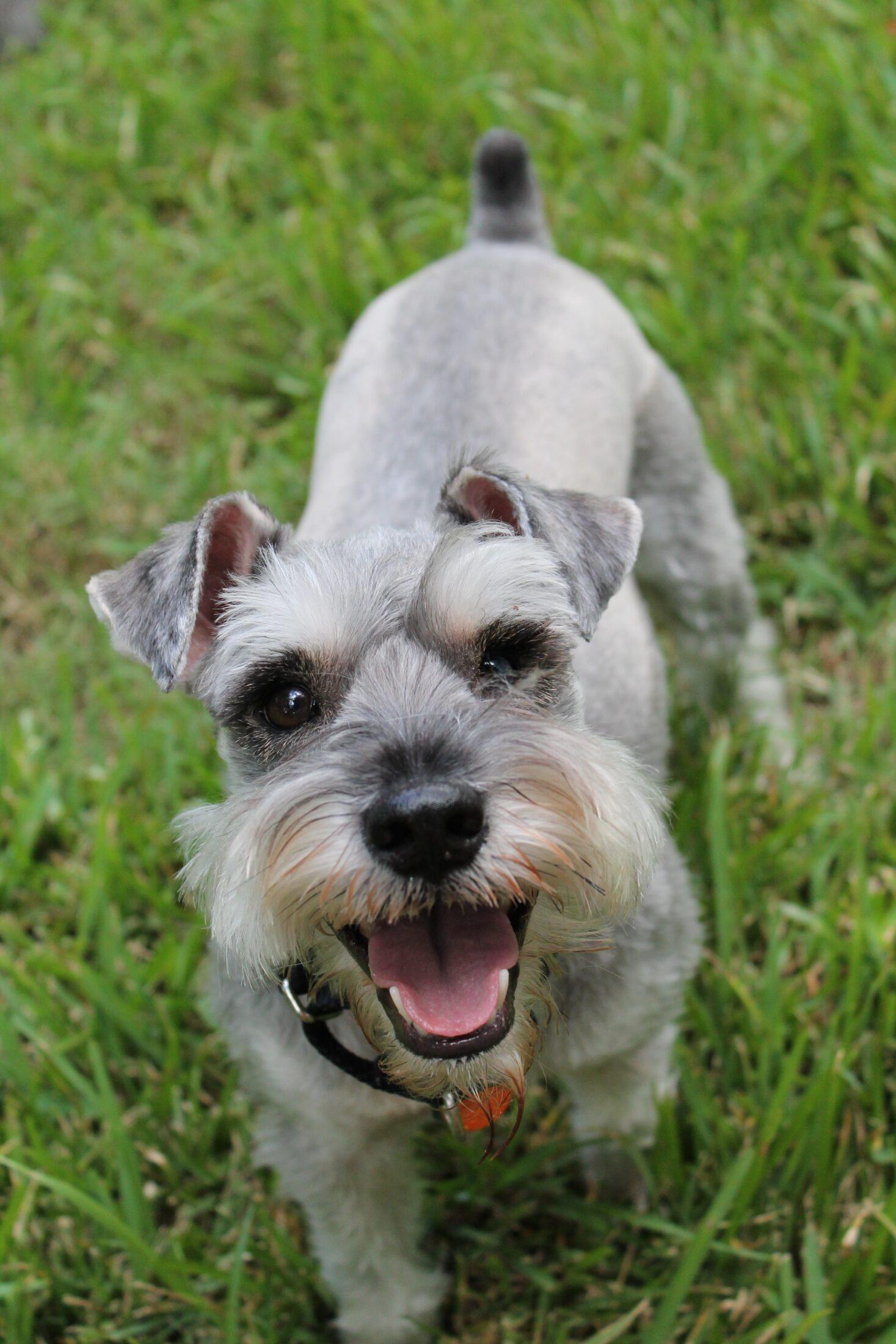raca de cachorro rara - CESKY TERRIER