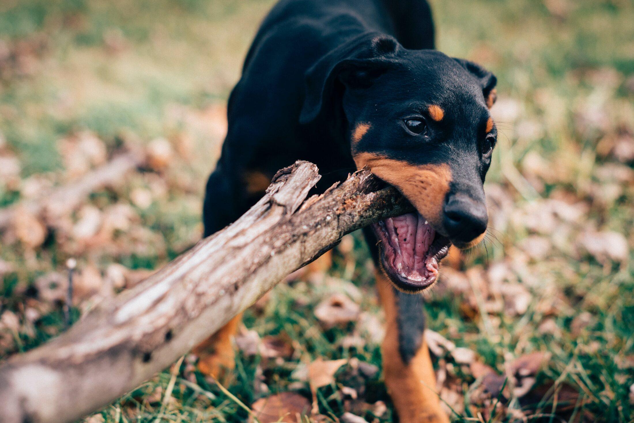 Cachorro agressivo doberman2