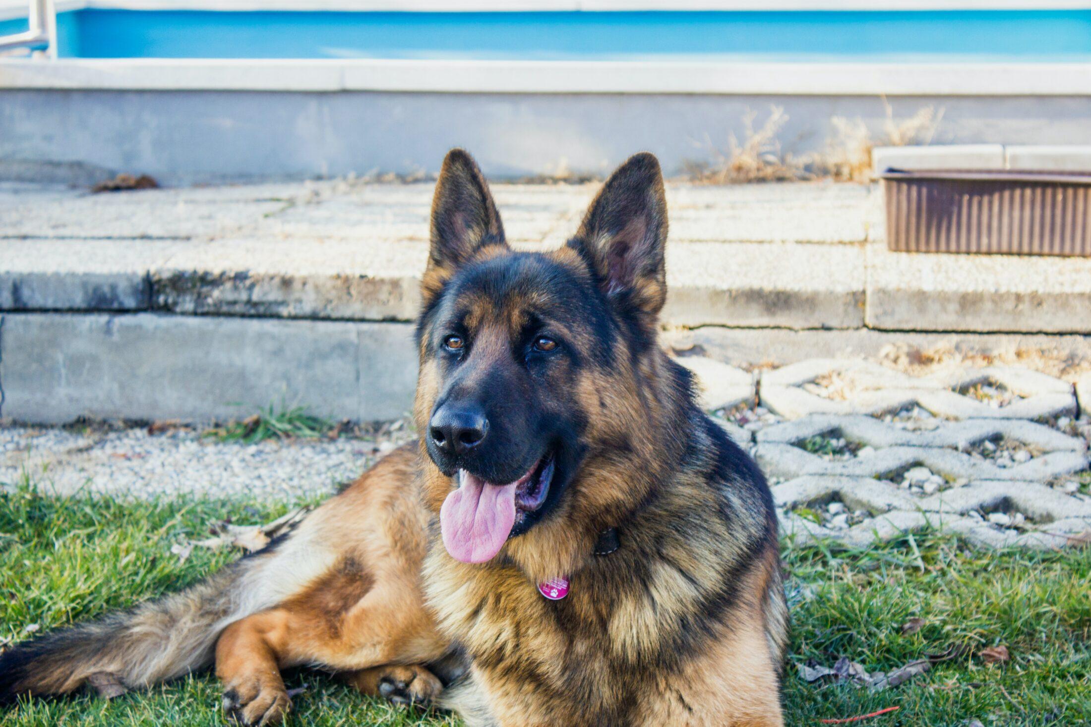 Cachorro agressivo pastor alemao