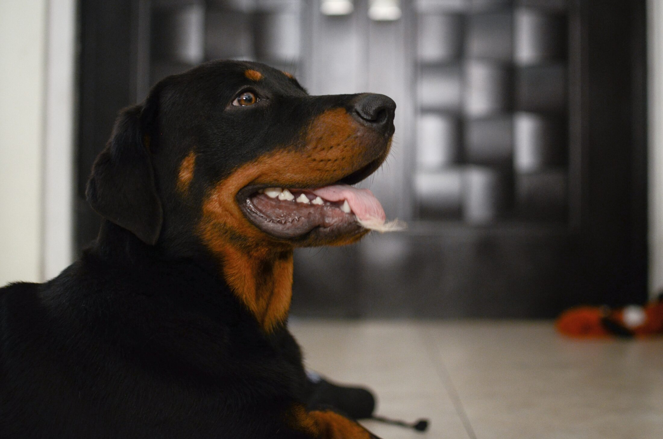 Cachorro agressivo rottweiler
