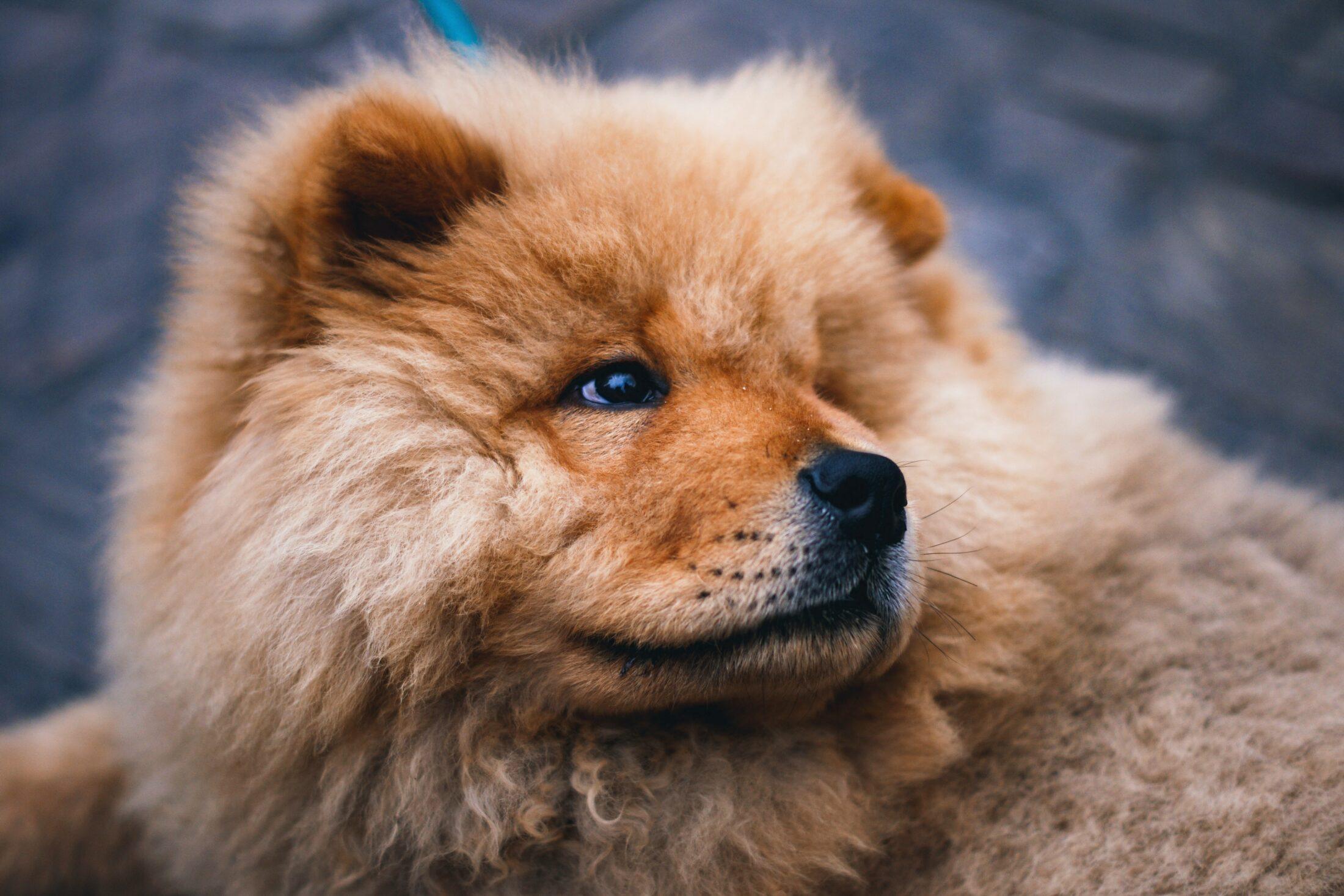Cachorro desobediente - chow chow