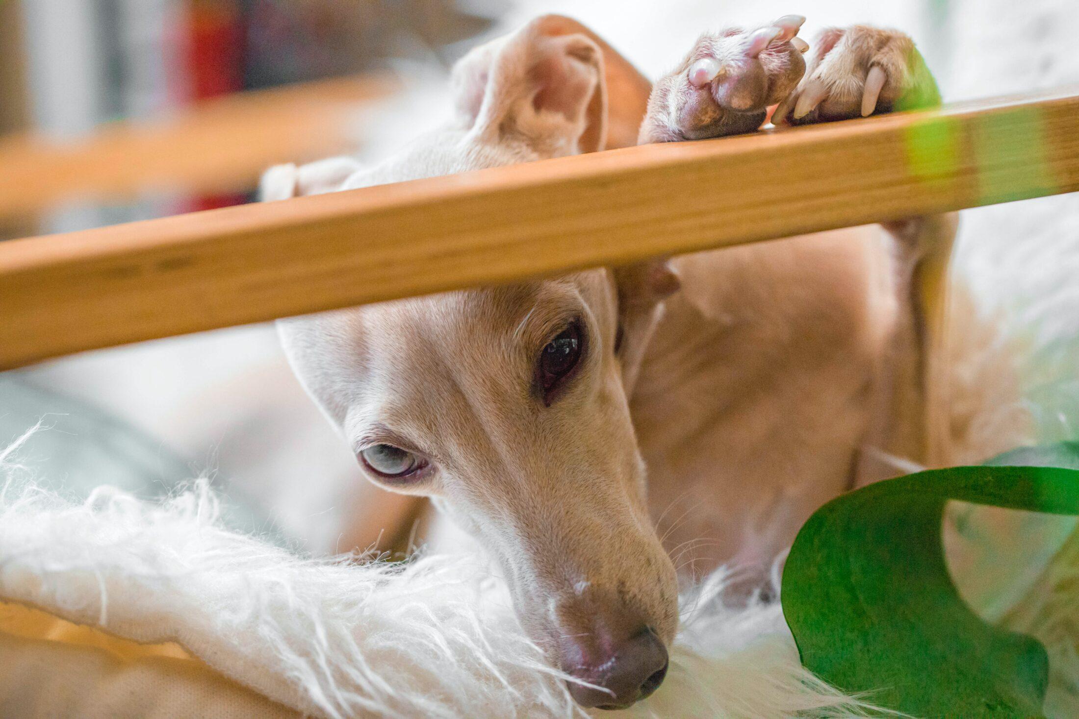 Cachorro desobediente - greyhound