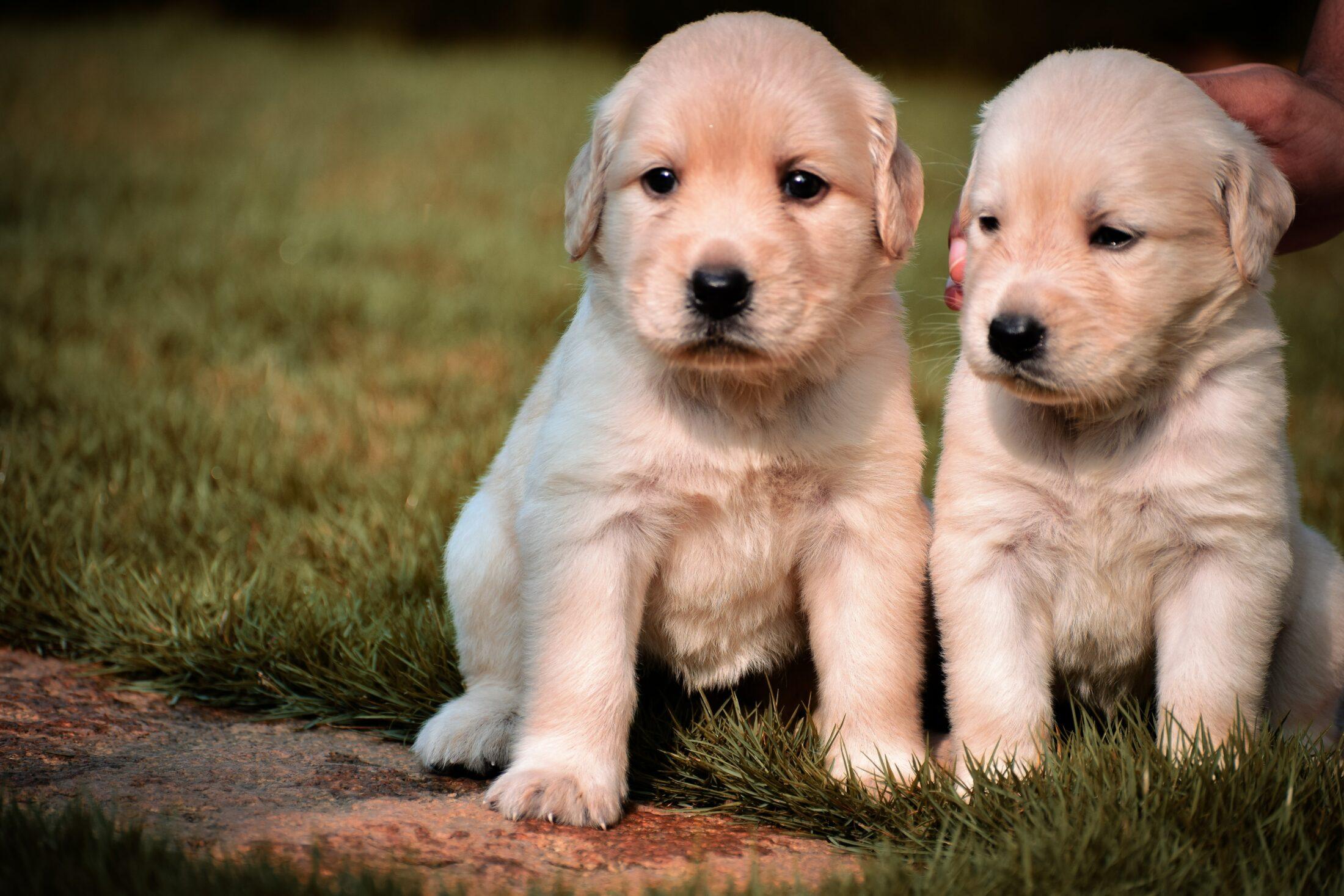 Cachorro e gato juntos - golden retriever