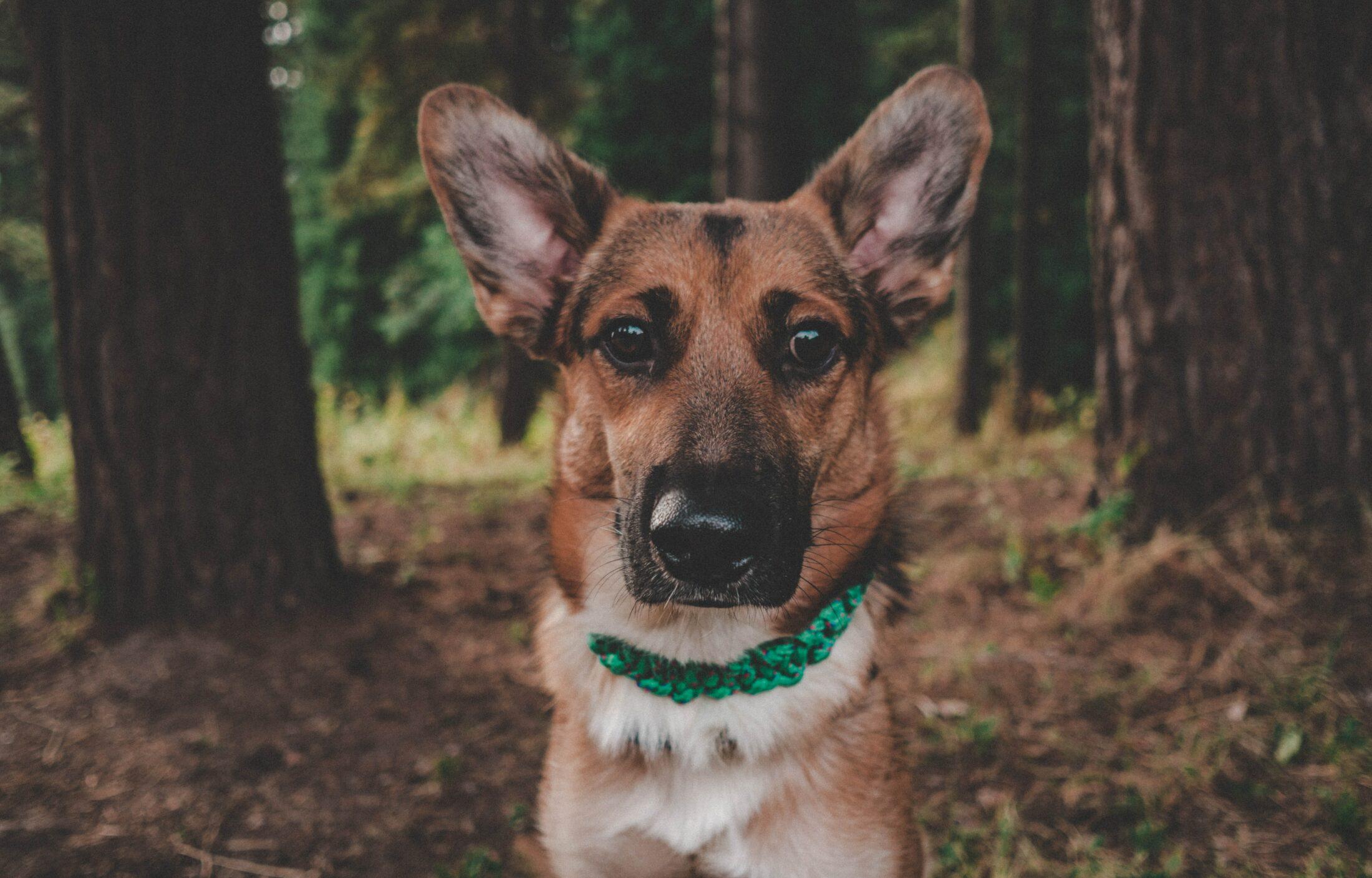 Cachorro e gato juntos - pastor alemao