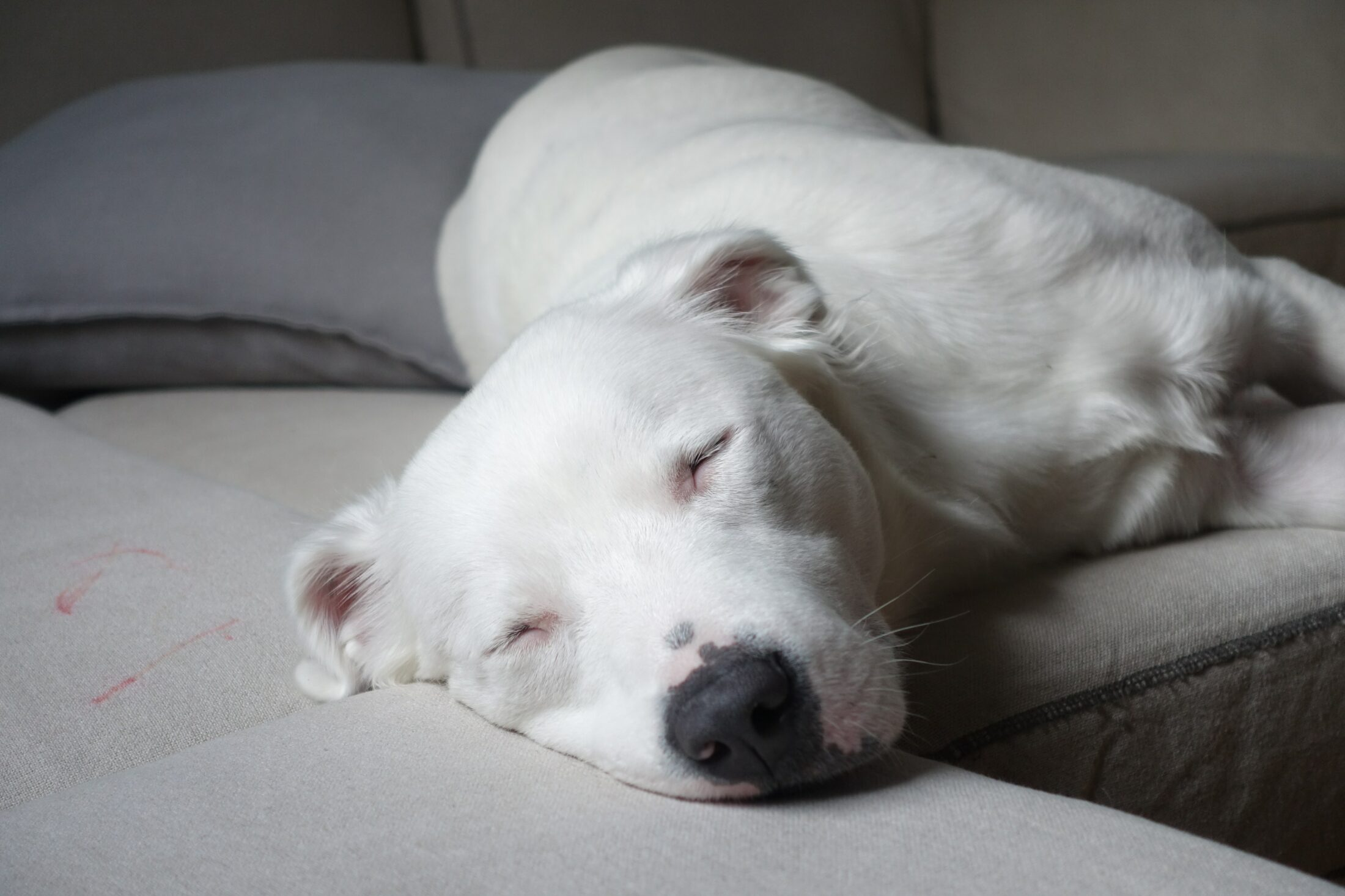 Cachorro medio porte - am staff terrier