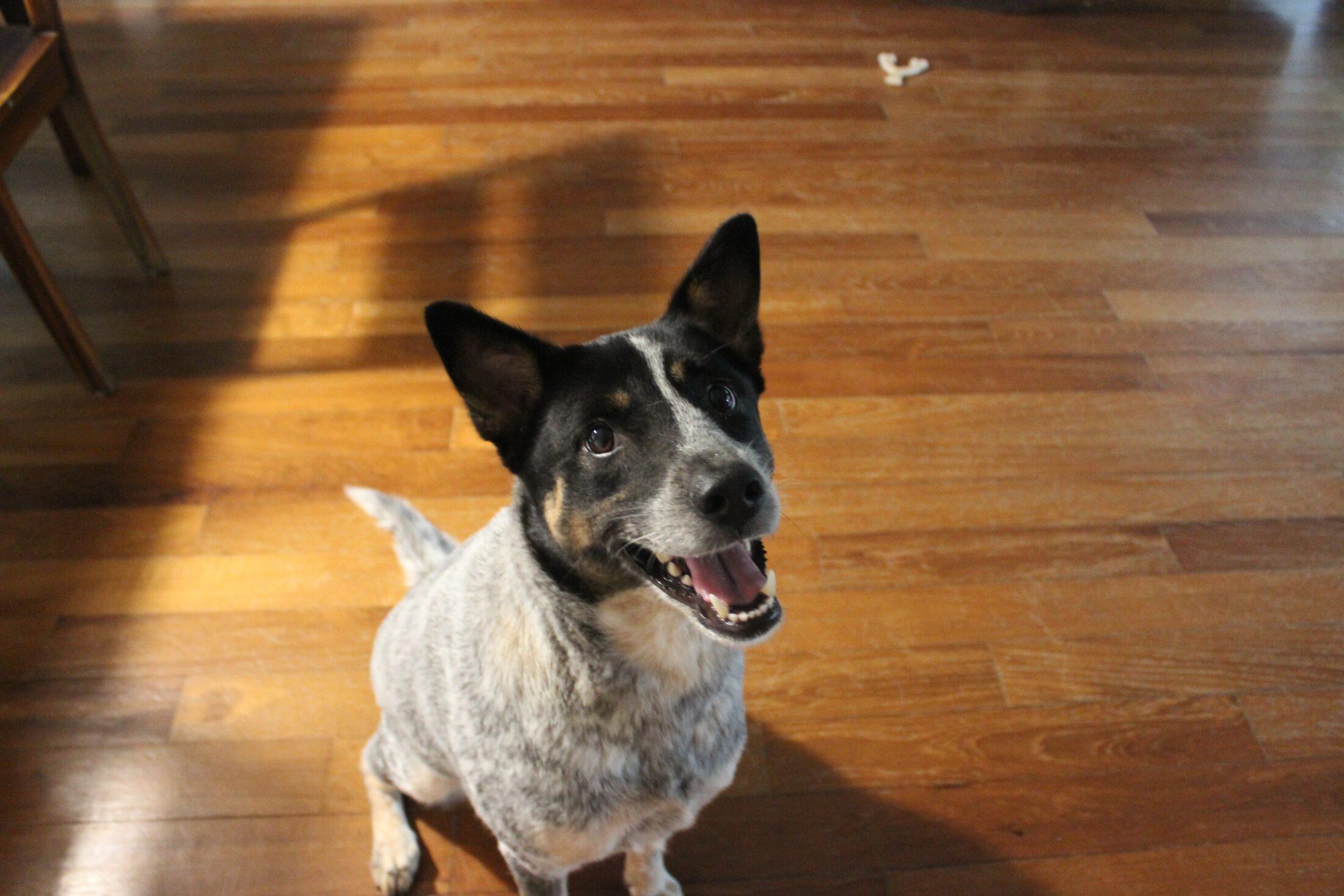 Cachorro medio porte - boiadeiro australiano