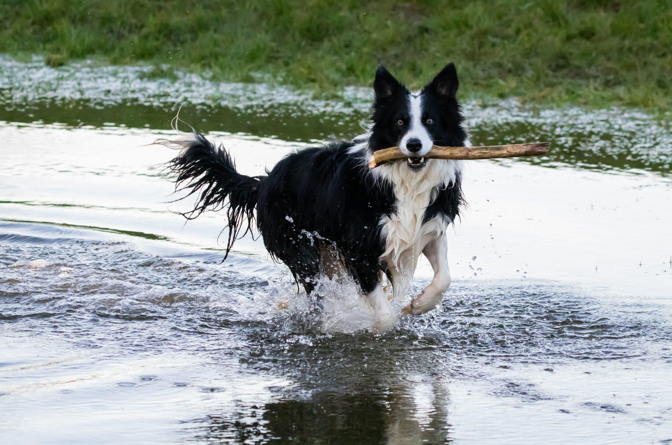 Cachorro medio porte - border collie