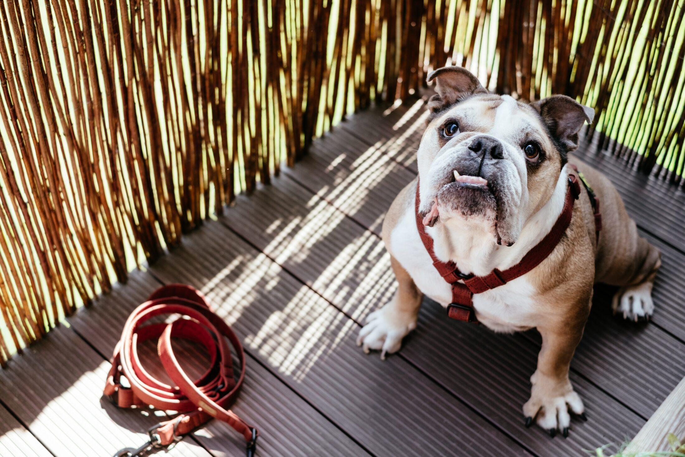 Cachorro medio porte - buldogue2