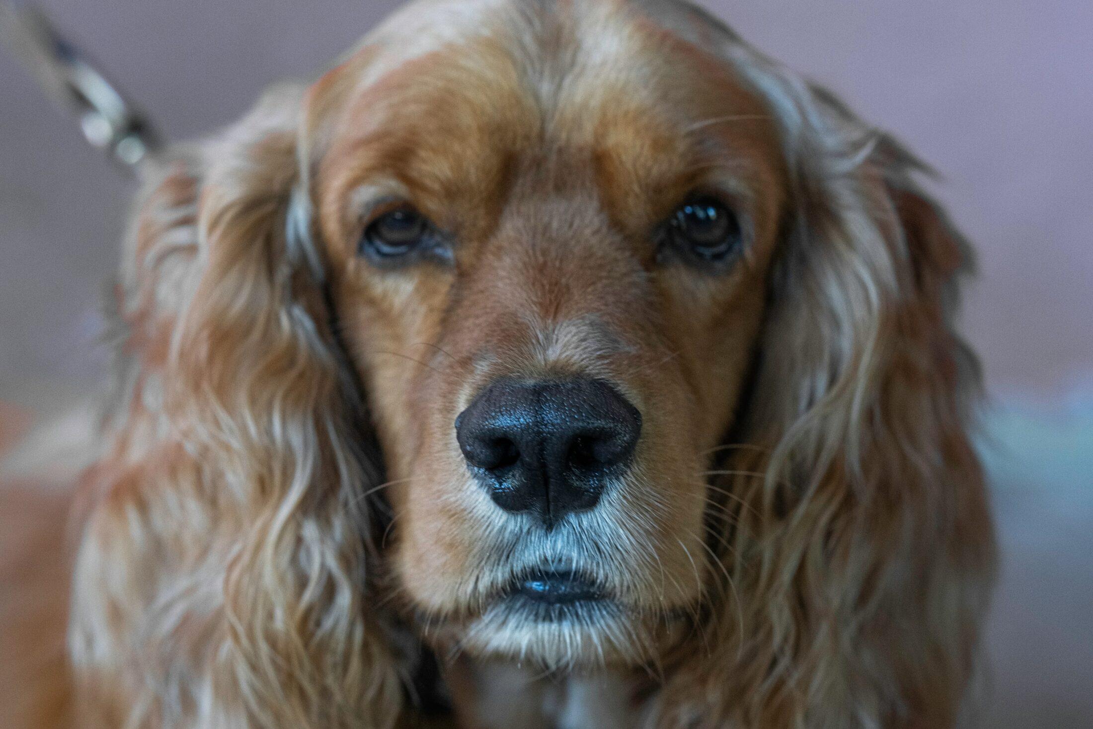 Cachorro medio porte - cocker