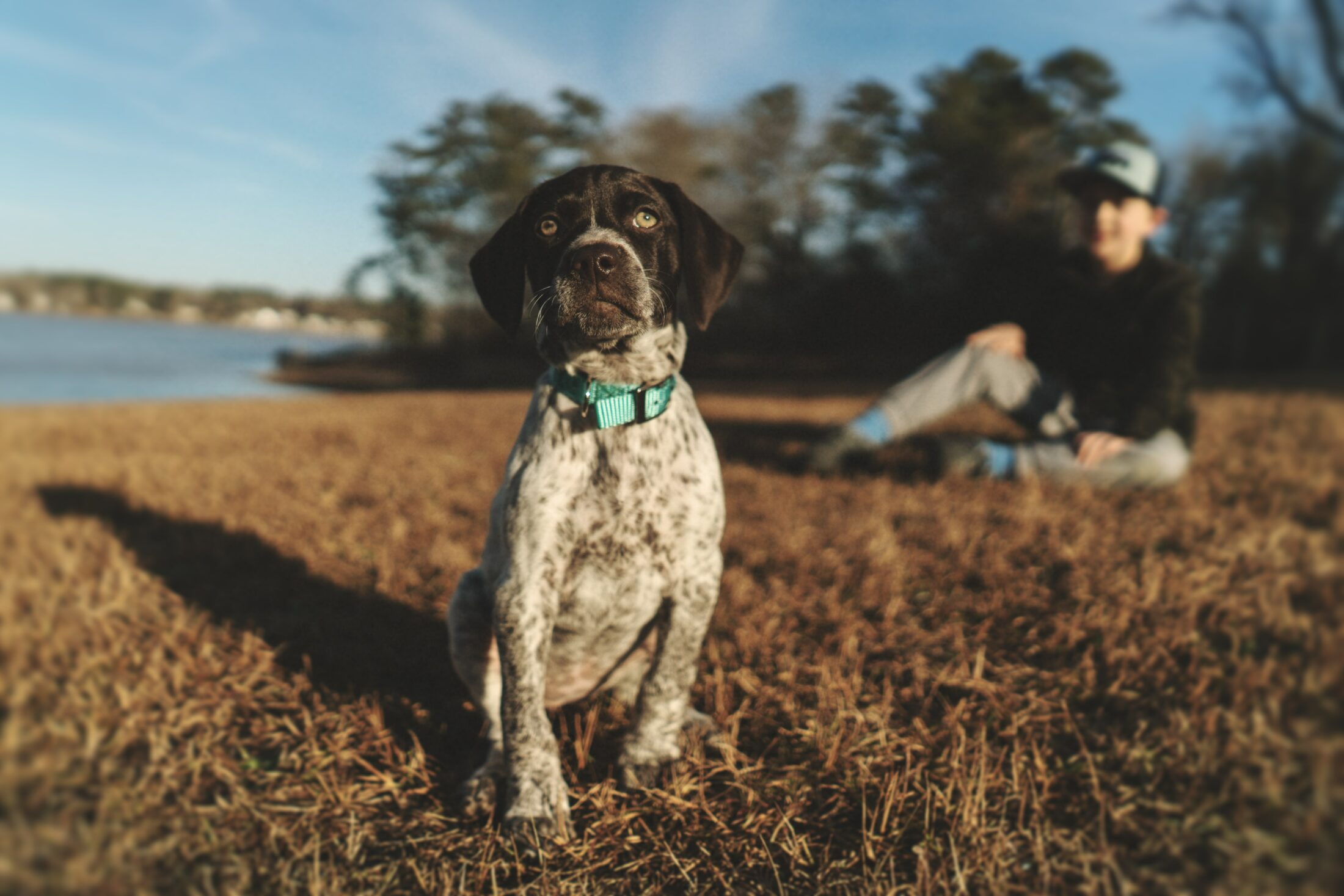 Cachorro medio porte - pointer alemao