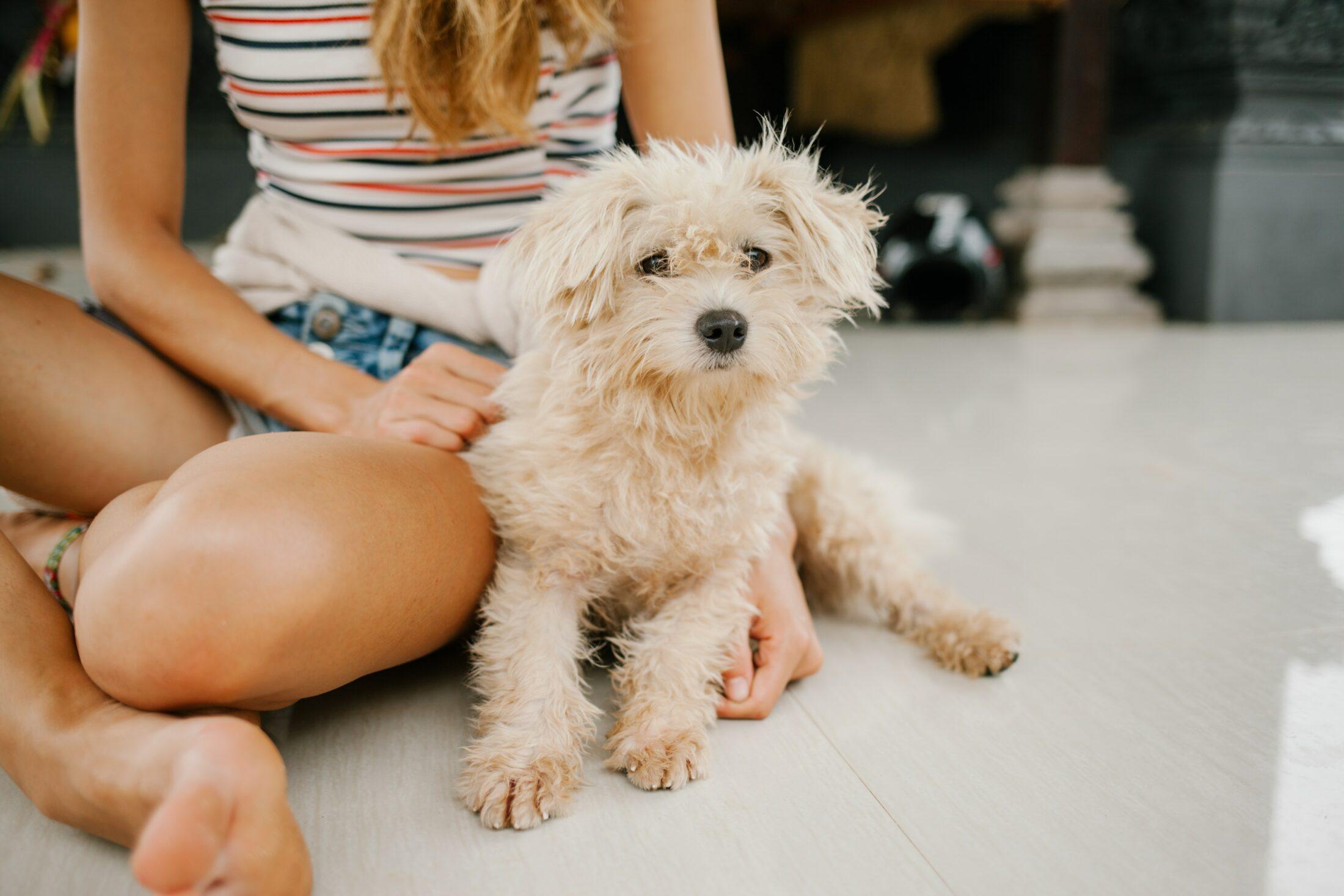 Cachorro medio porte - poodle