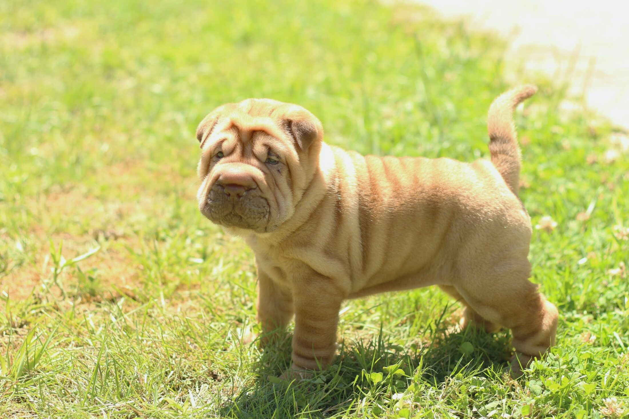 Cachorro medio porte - shar pei