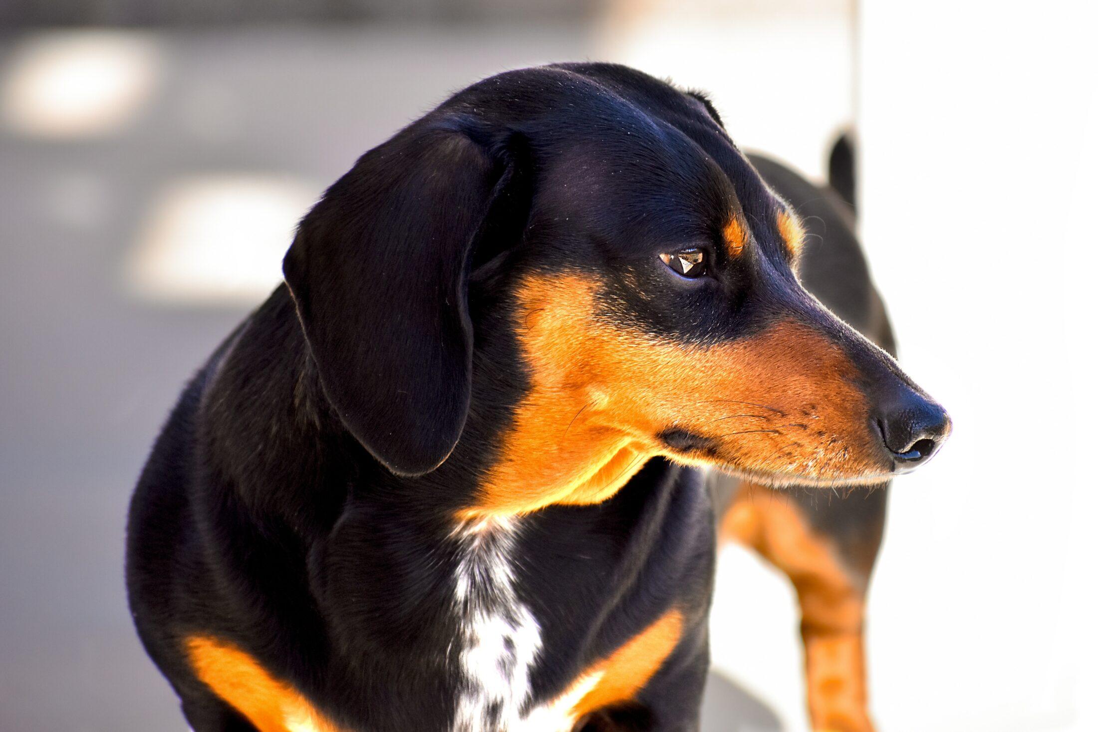 Cachorros leais dachshund