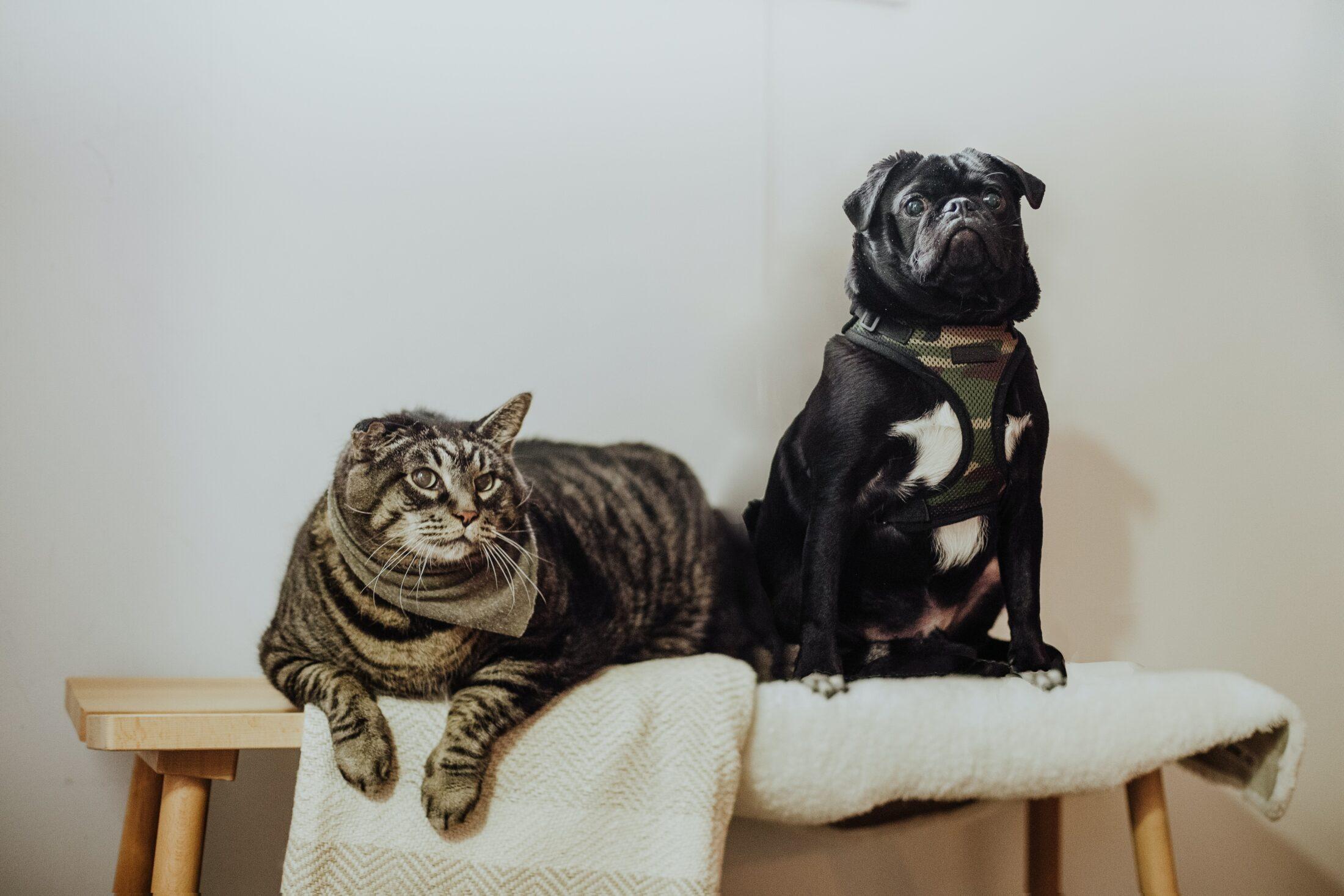 Cachorro e gato juntos em cima do móvel