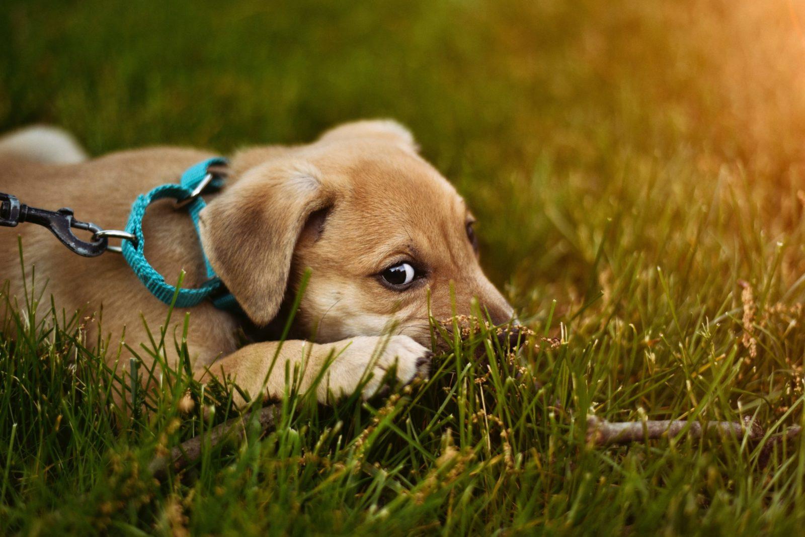 O chip GPS é um dispositivo de segurança e rastreio adicionado à coleira do cachorro para rastreamento.