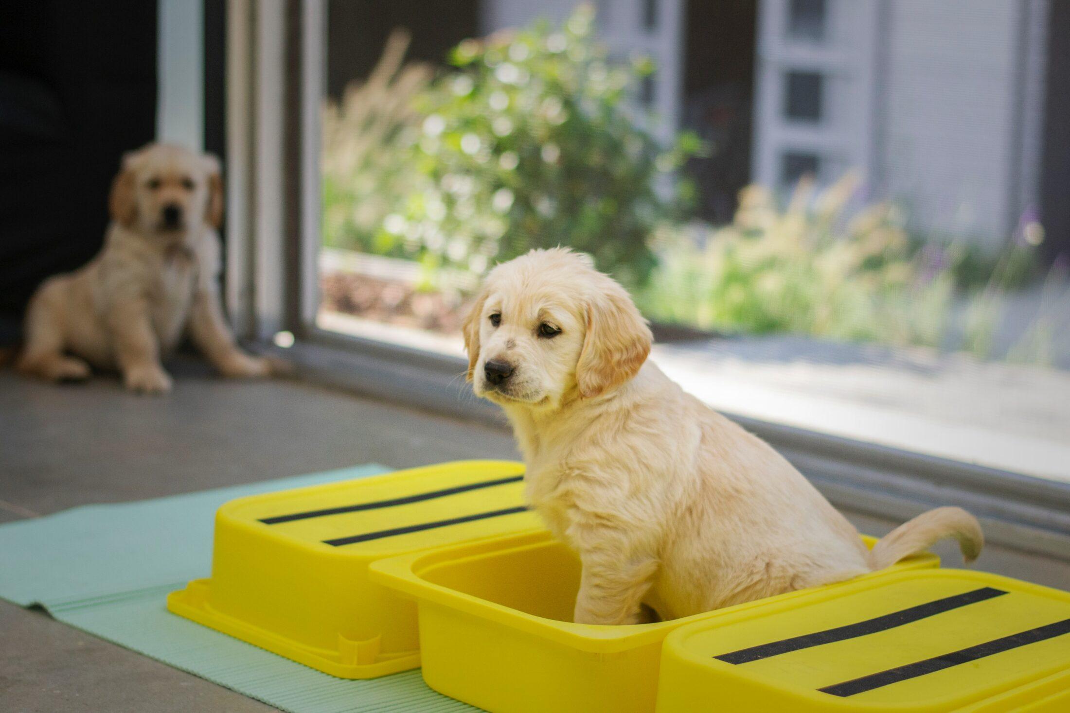 Como cuidar de Golden Retrievers implica em ensiná-lo onde fazer suas necessidades em local correto.