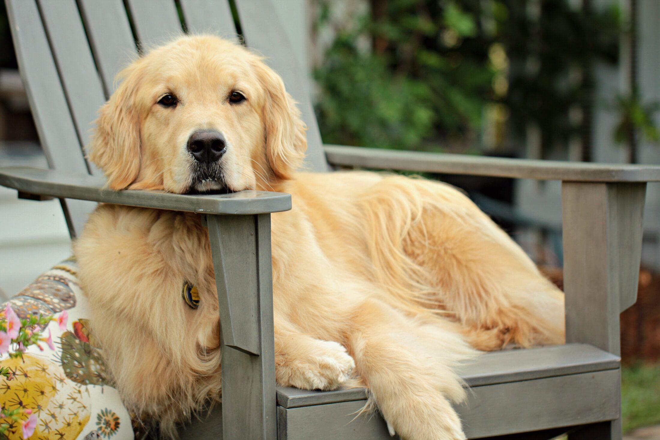 Você deve saber como cuidar de golden retrievers antes de decidir ter um em casa.