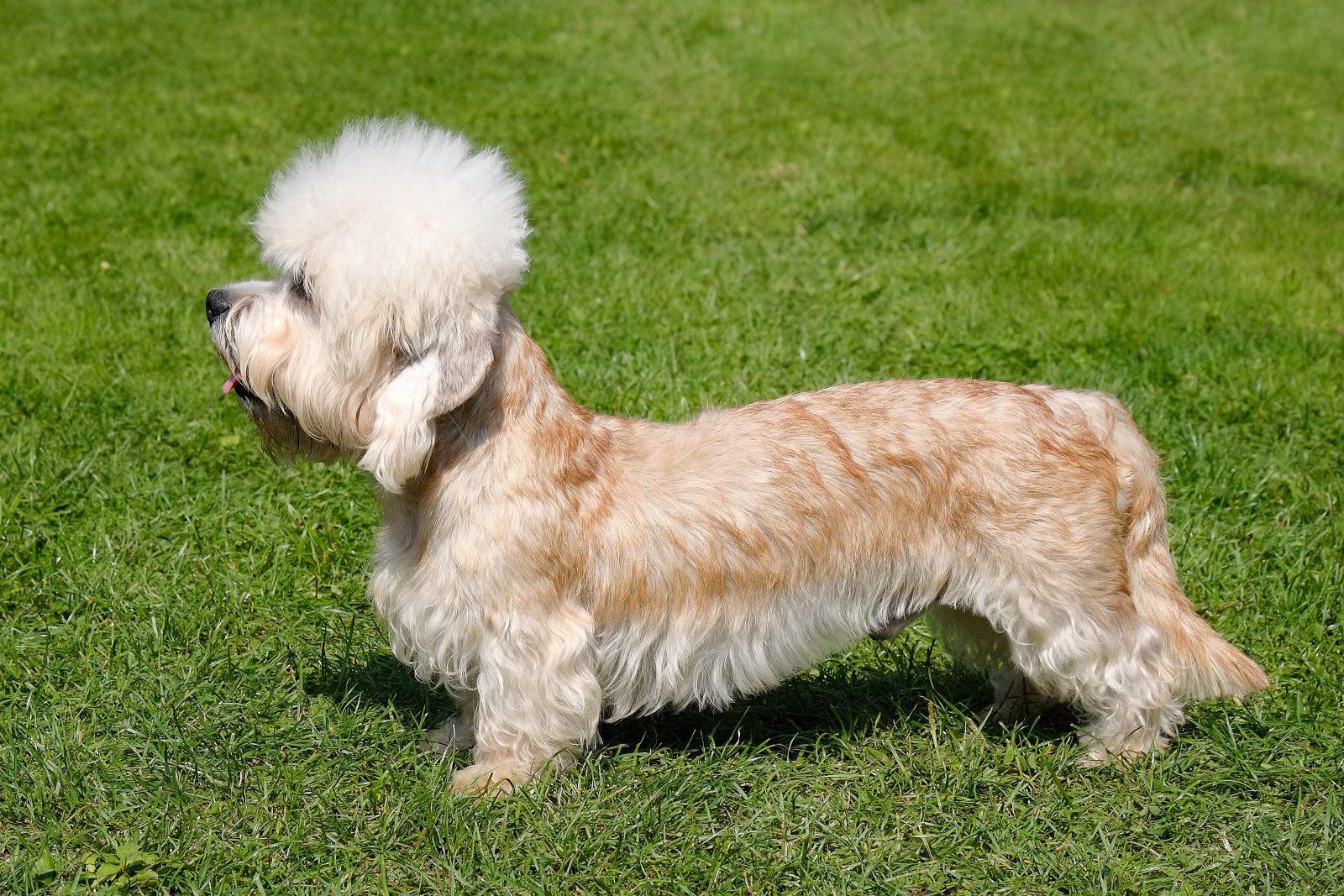 raca de cachorro rara - DANDIE DINMONT TERRIER