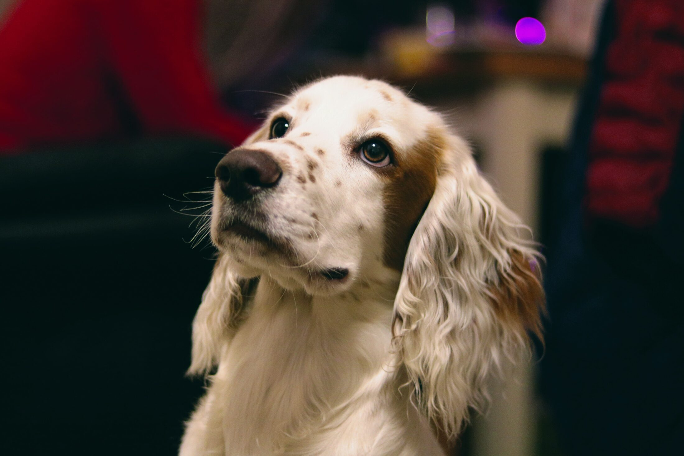 cachorro para idosos English Springer Spaniel