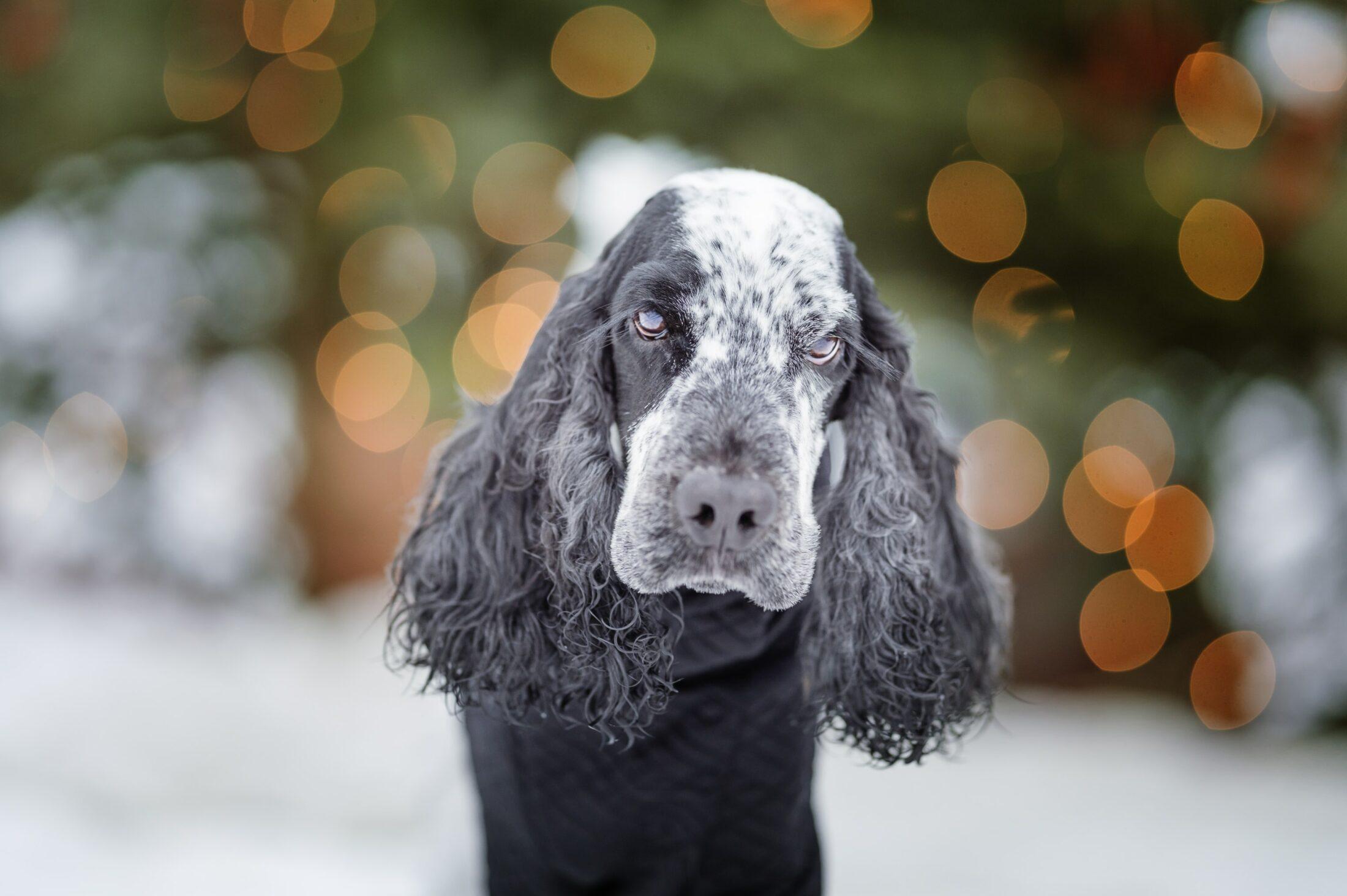 cachorros para idosos English cocker spaniel