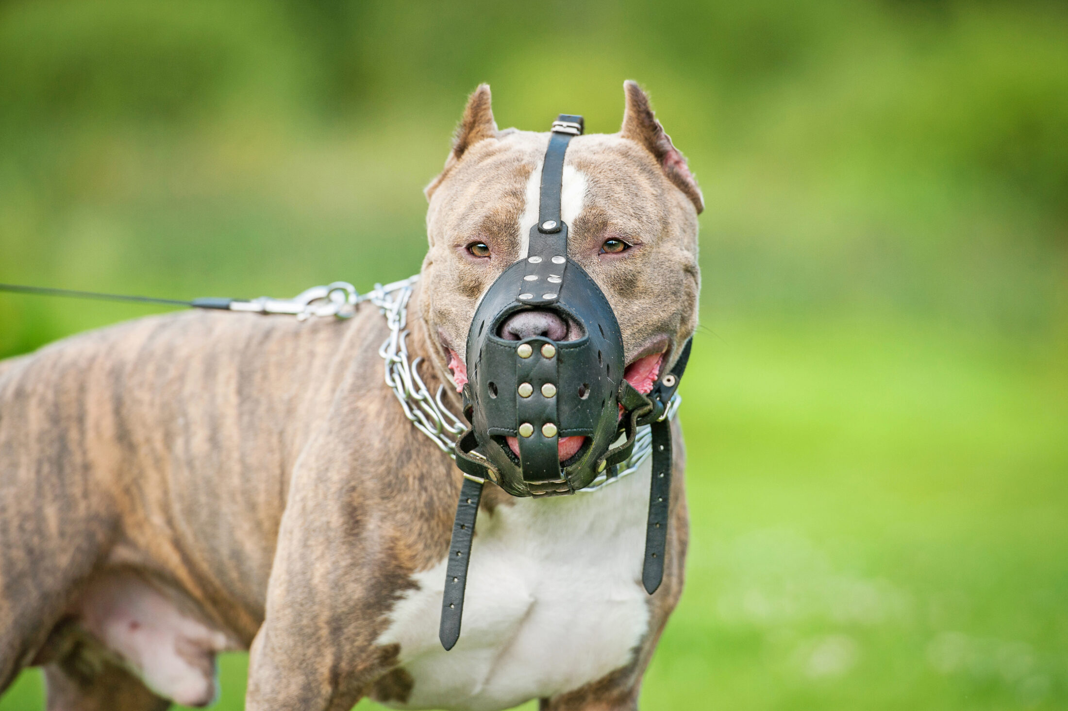 A focinheira para cachorro te dá uma maior liberdade para sair com ele por aí em público.