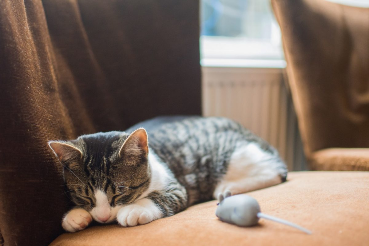 Gatos com síndrome de Down