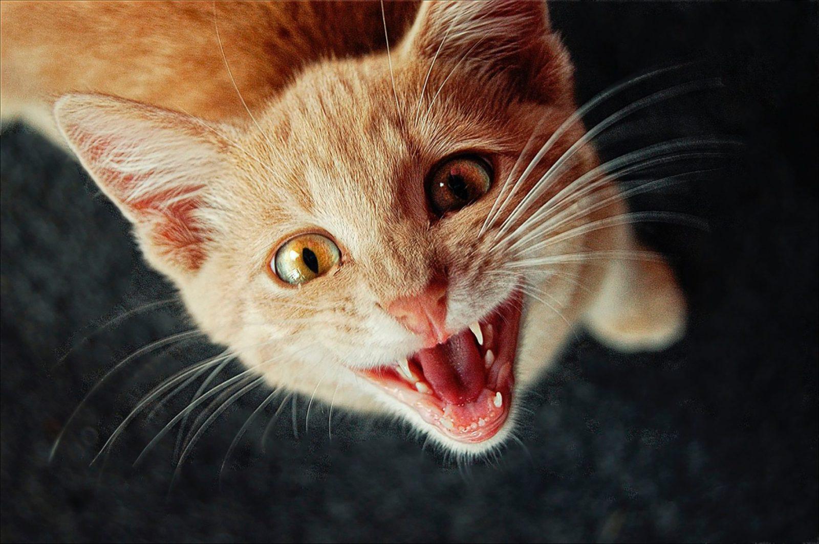 Embora não haja gatos com síndrome de Down, existem características parecidas.
