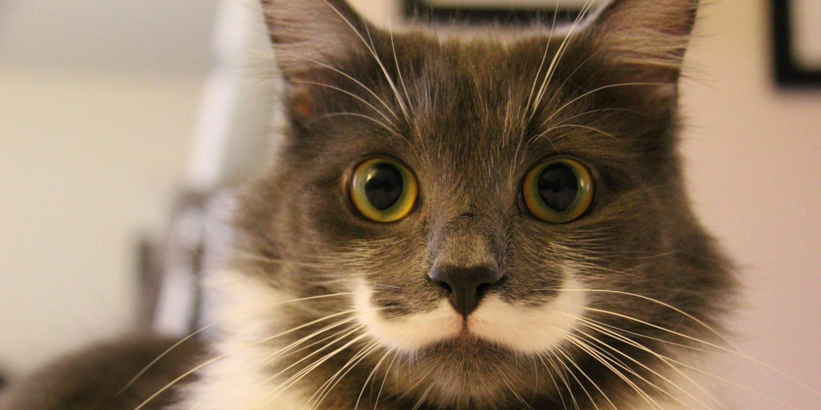 Hamilton é um gatinho que foi resgatado e agora está entre os animais fantásticos das redes sociais.