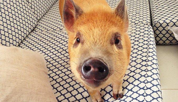 Jamon é um dos animais fantásticos da lista super famoso na internet.