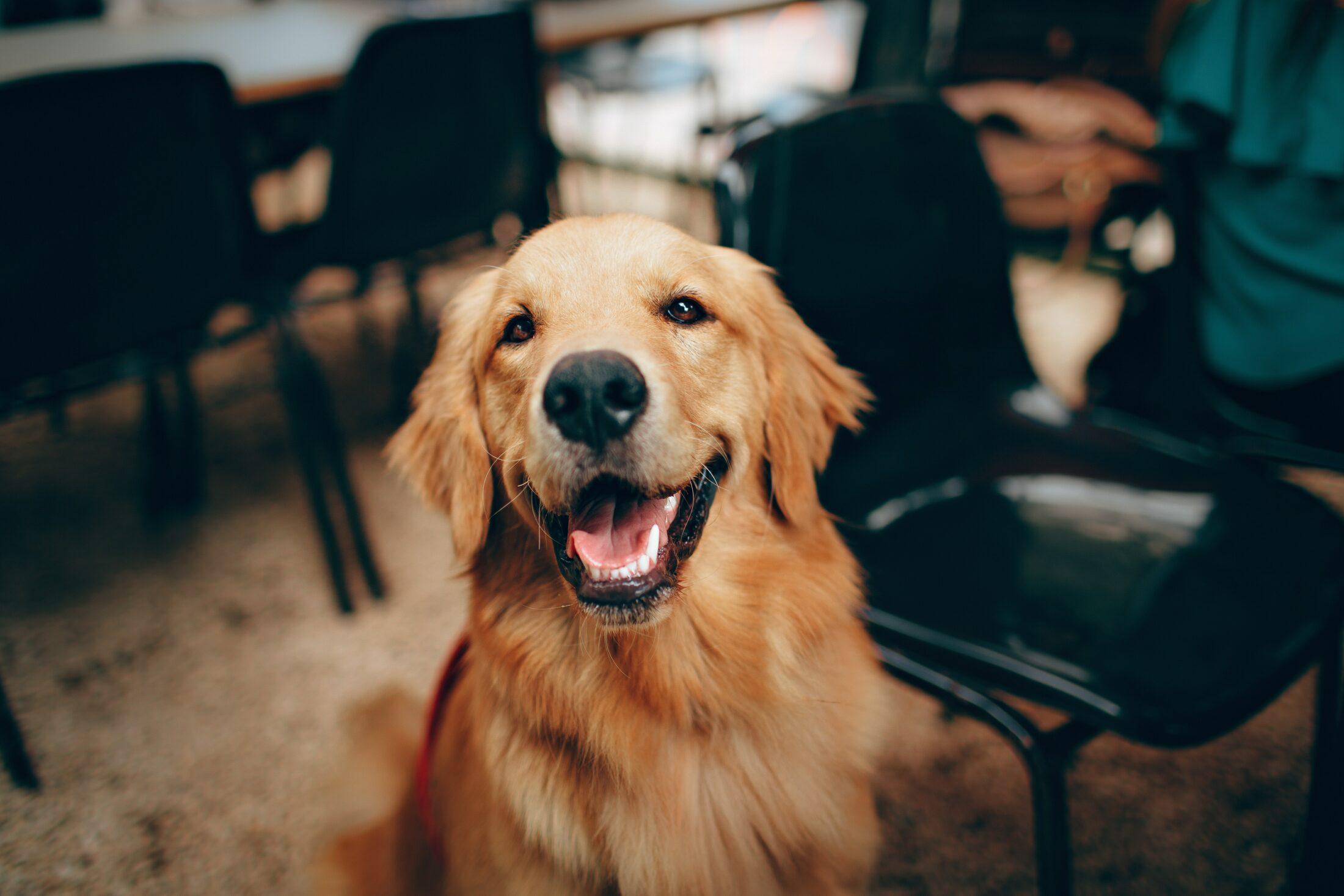 Melhor Cachorro para Crianca - golden retriever