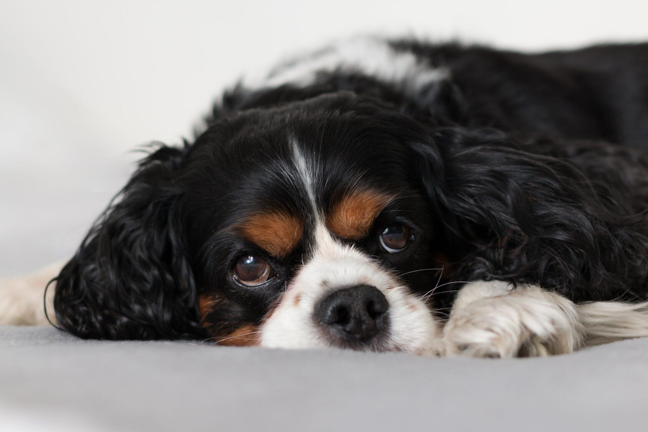 Melhor Cachorro para Crianca - king charles spaniel
