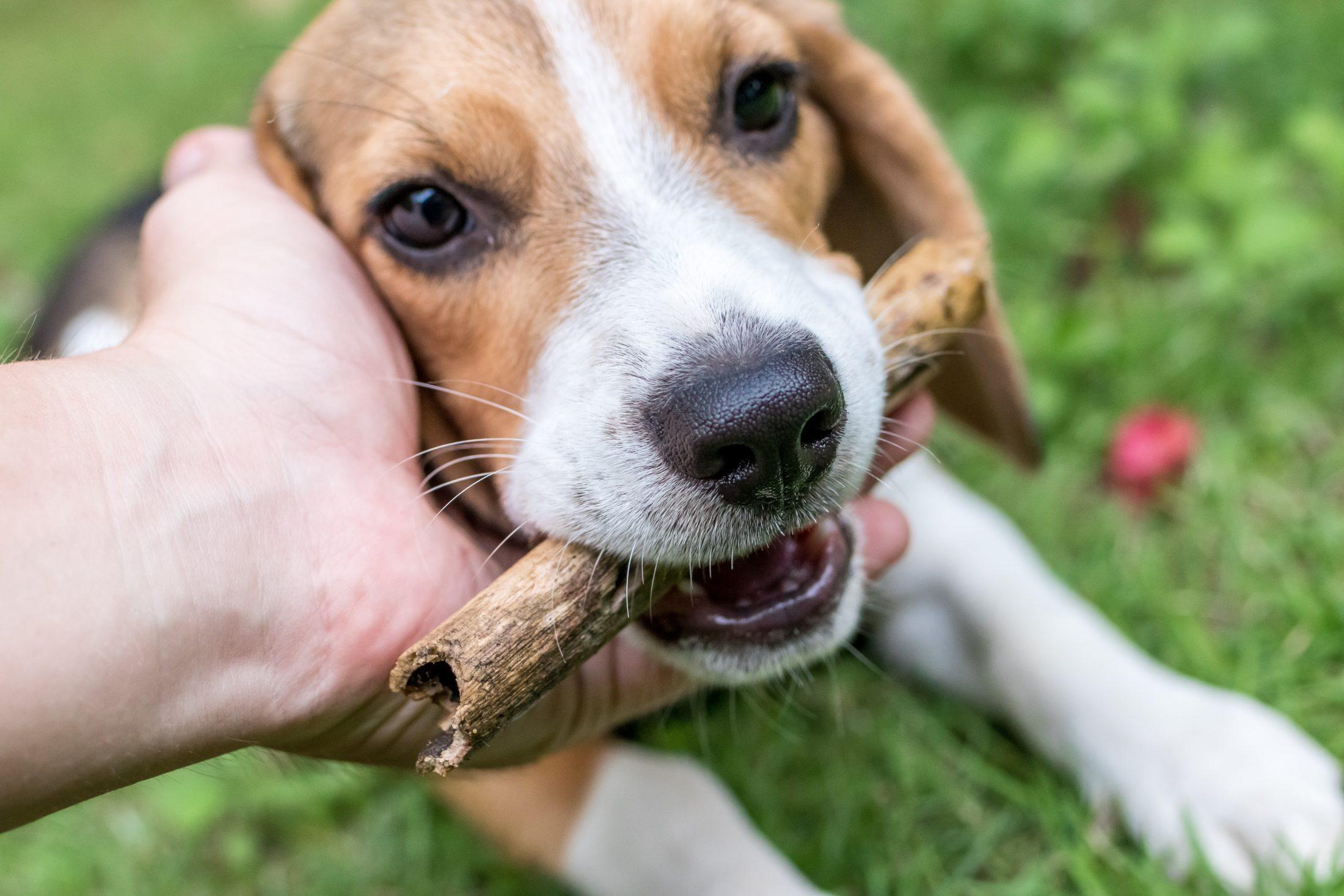Melhores Raças de Cachorro beagle