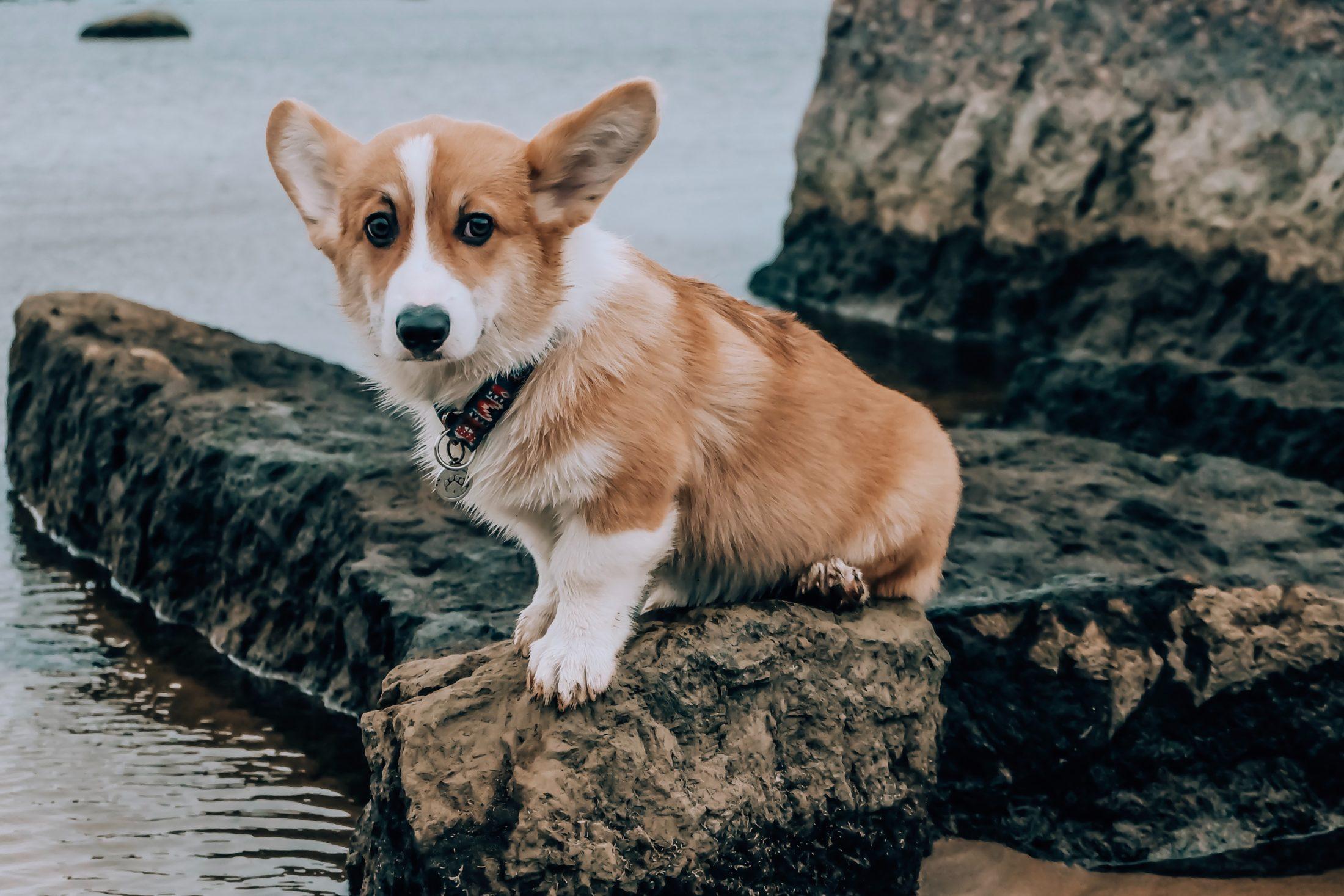 Melhores Raças de Cachorro corgi