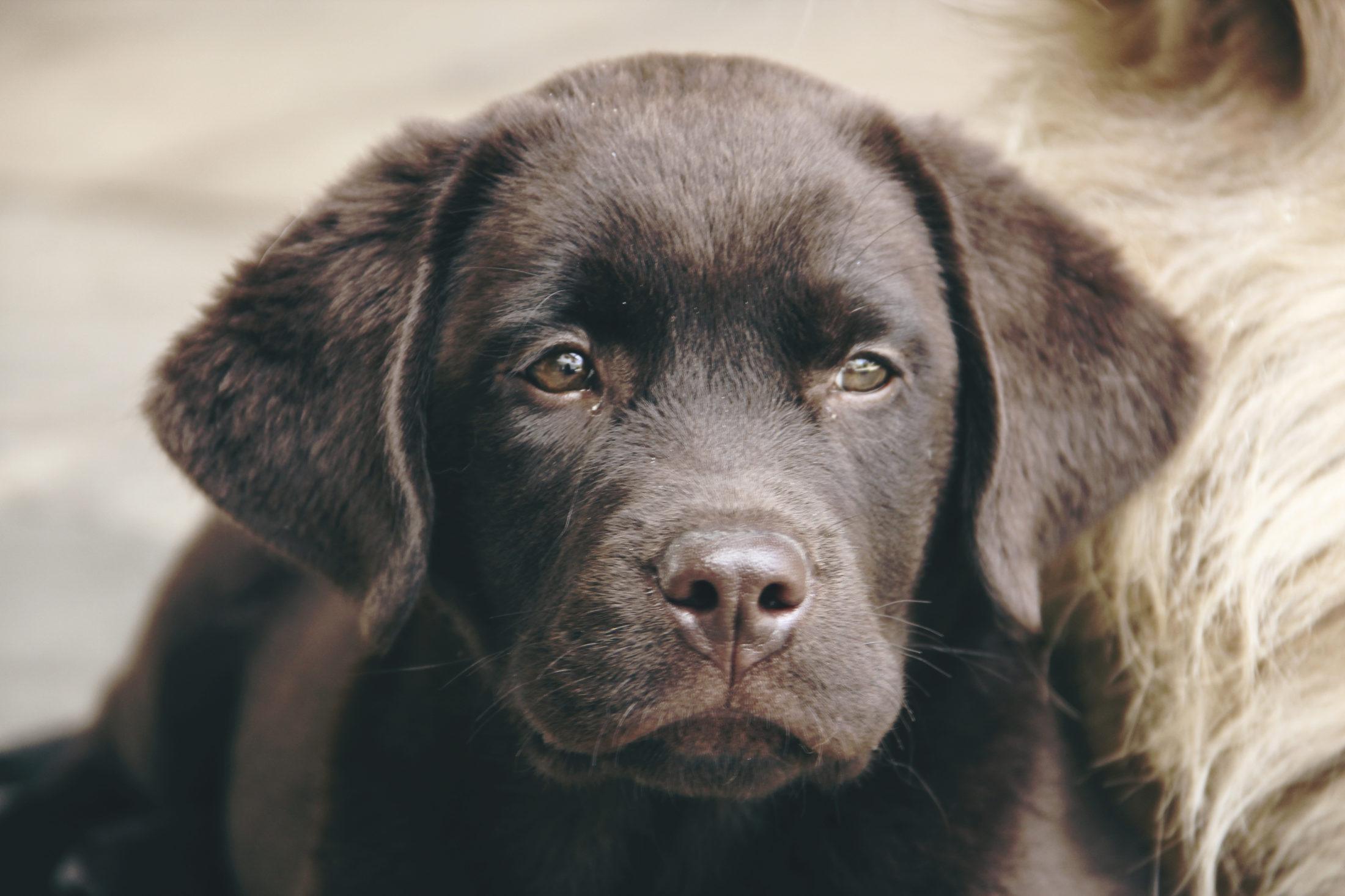 Melhores Raças de Cachorro labrador