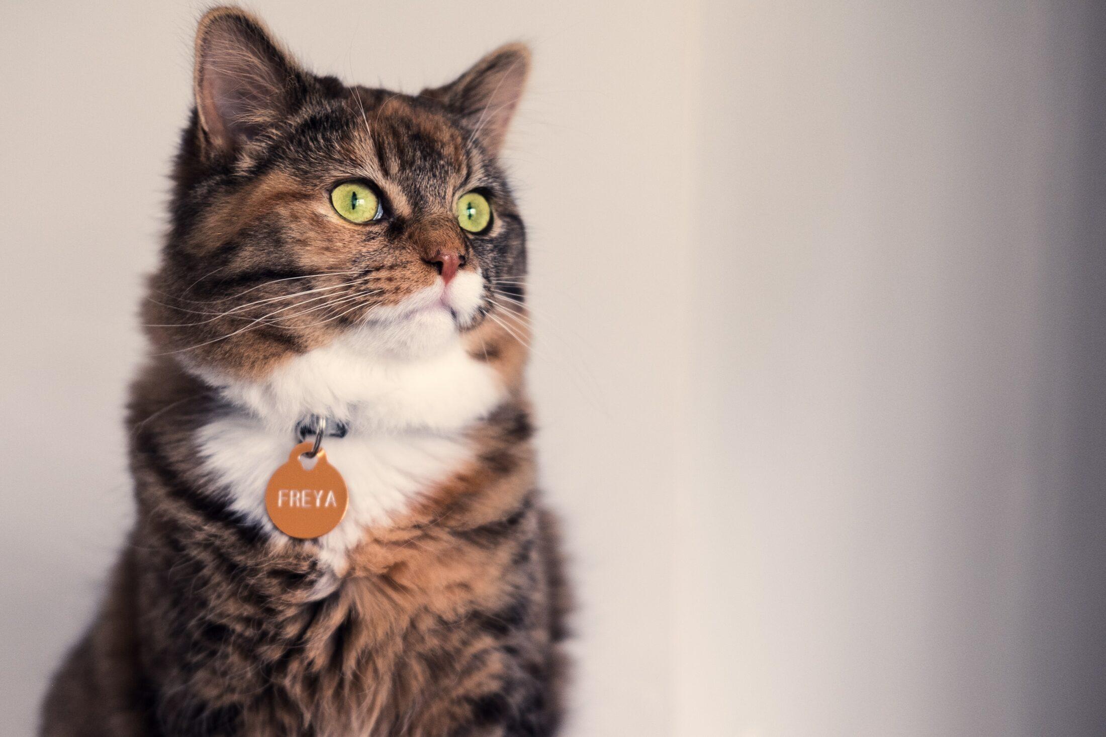 gatos de pelos longos Norwegian Forest Cat