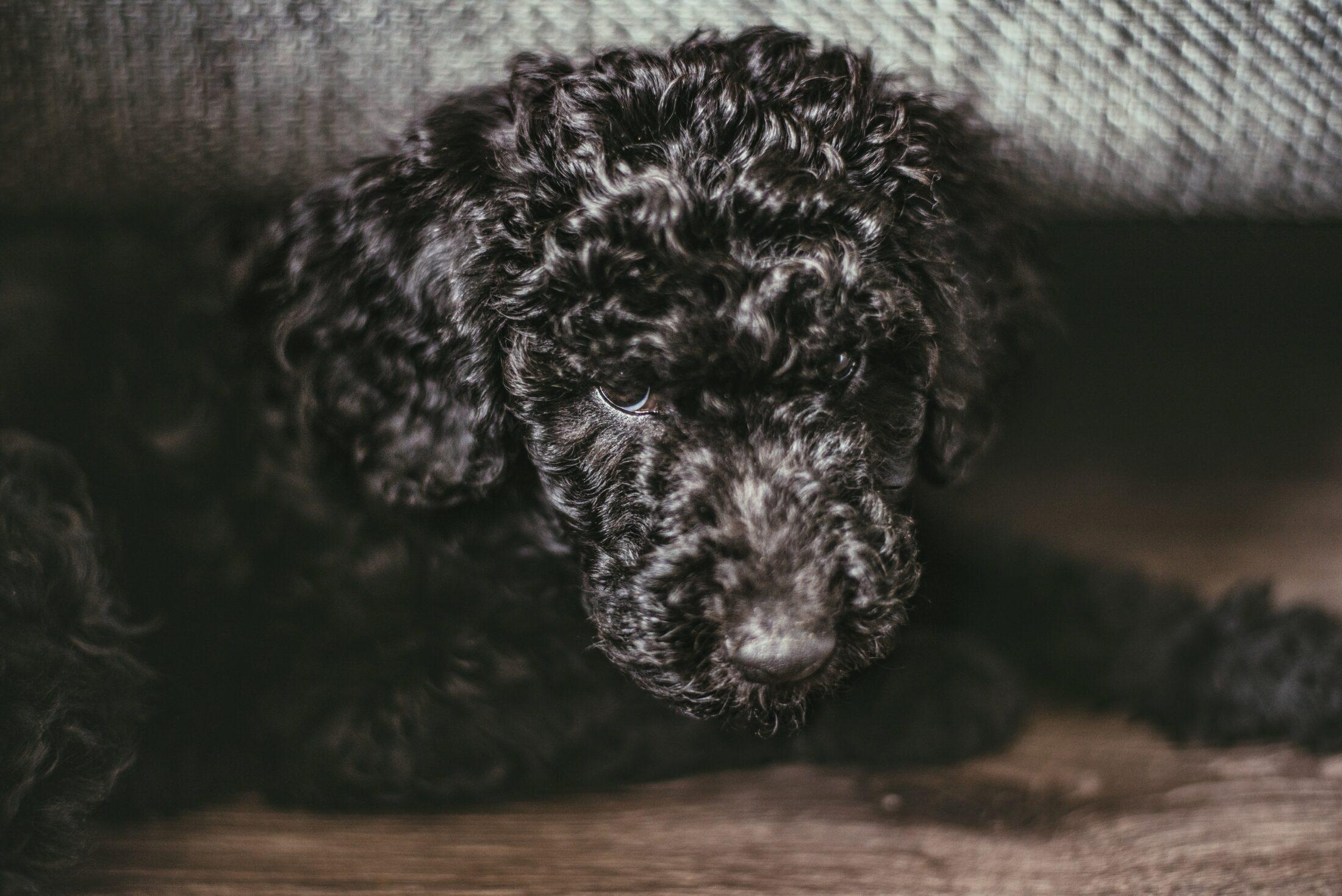 olhar canino