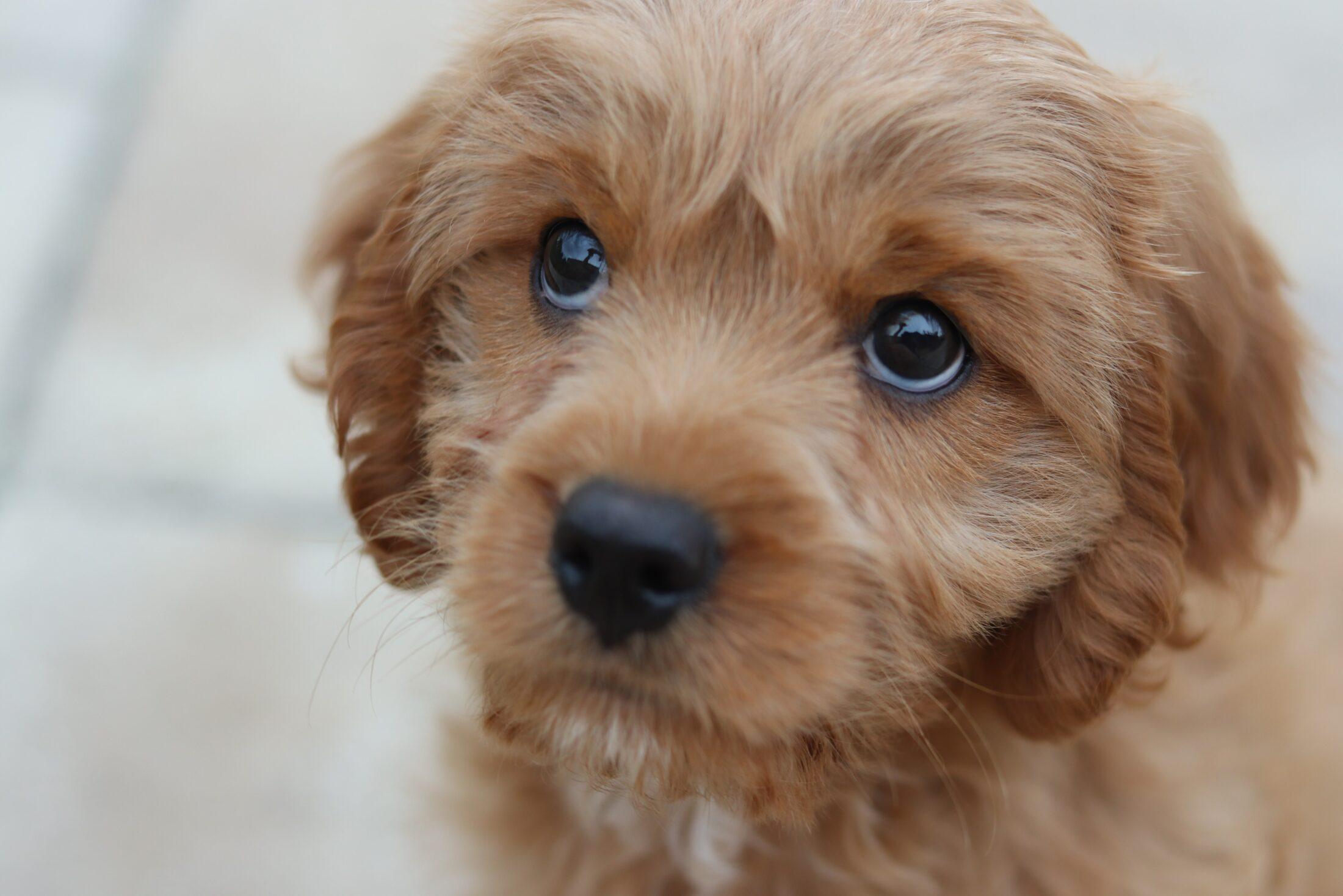 filhote com olhar canino de ternura