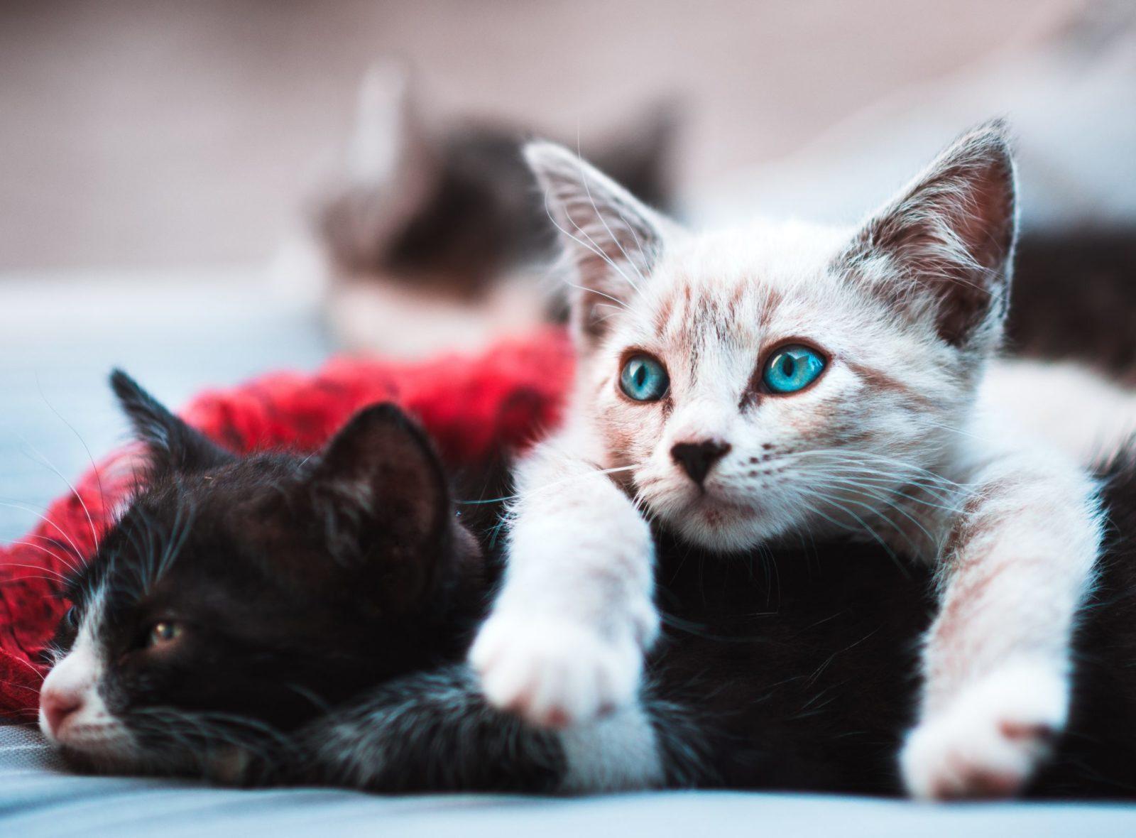 Por que os gatos ronronam quando filhotes e adultos