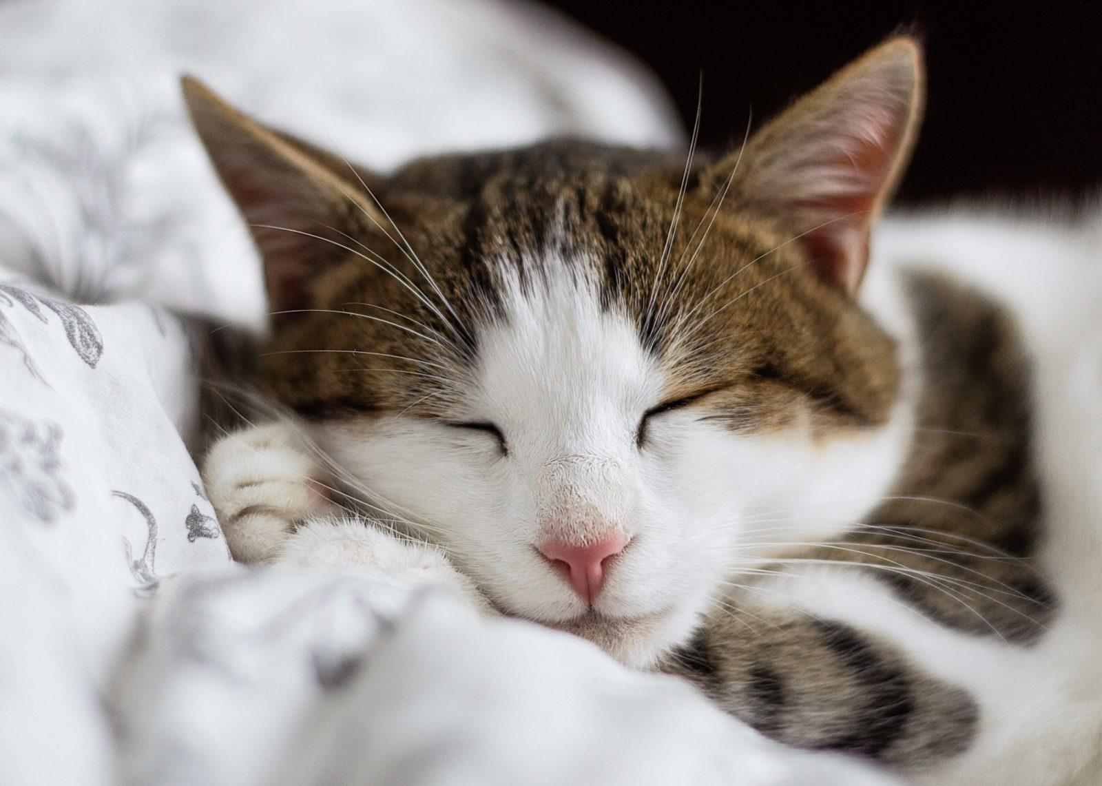 entender por que gatos ronronam há benefícios