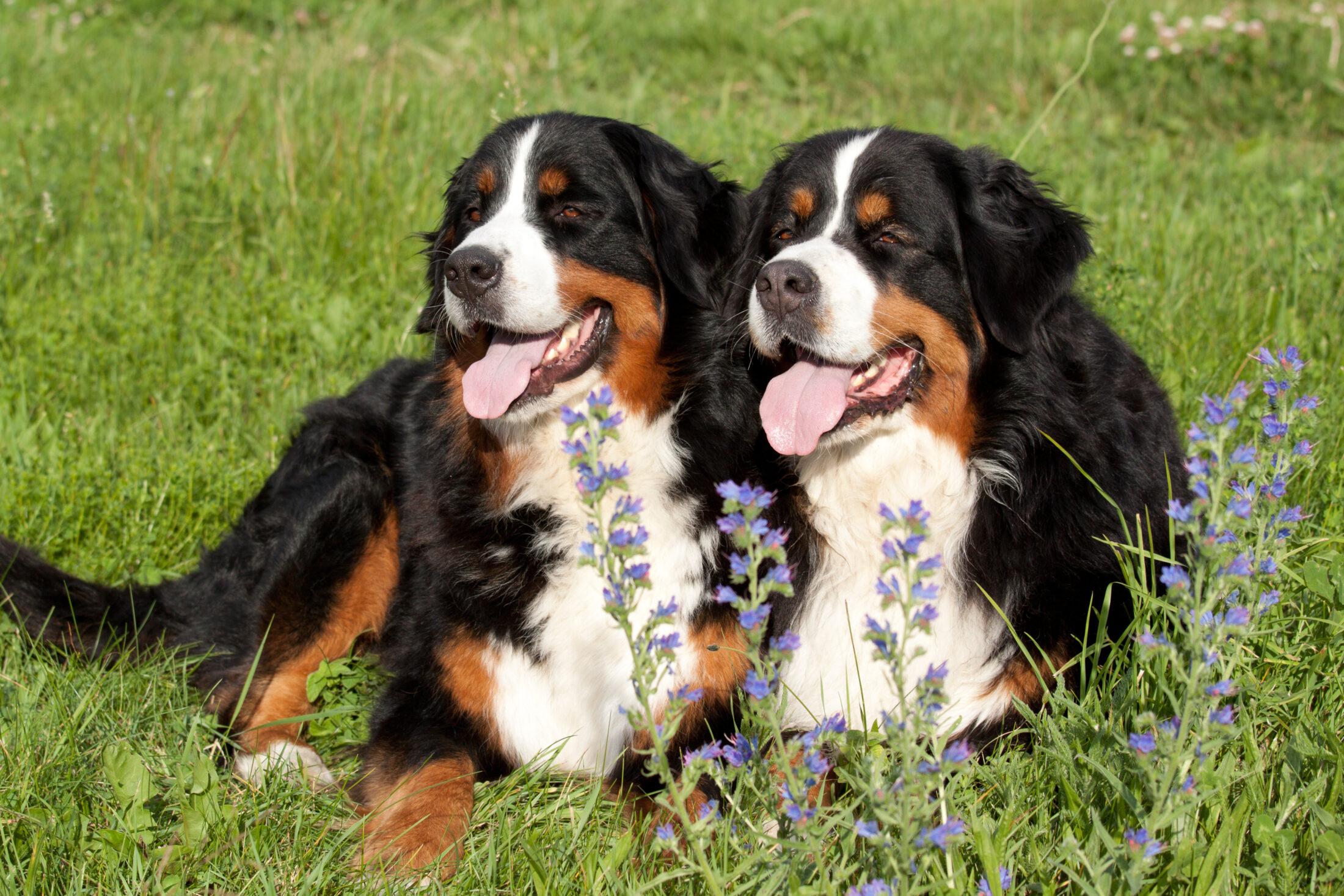 Raça de Cachorro Grande: Cão Boiadeiro de Berna