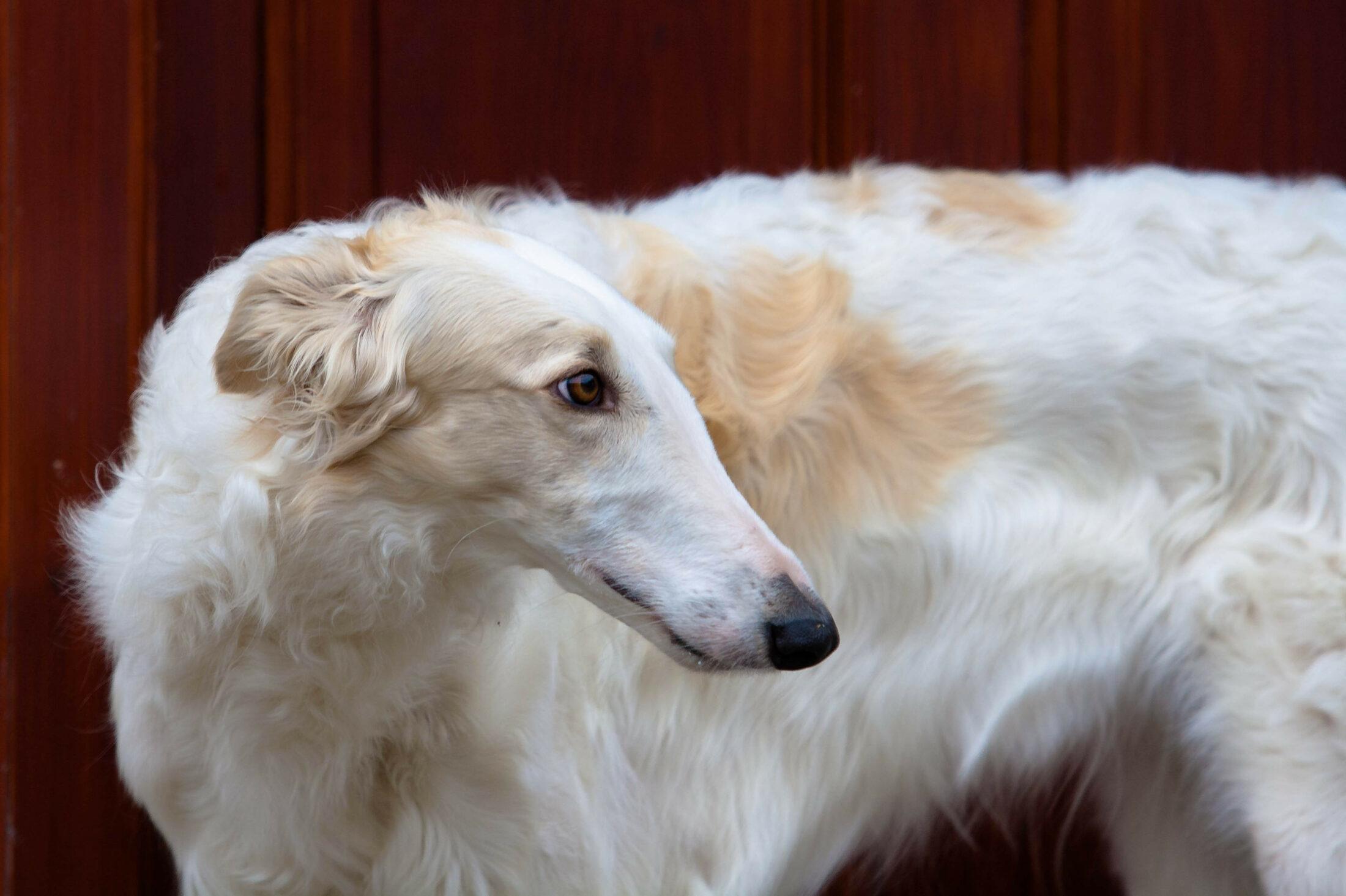raca de cachorro grande - Borzoi