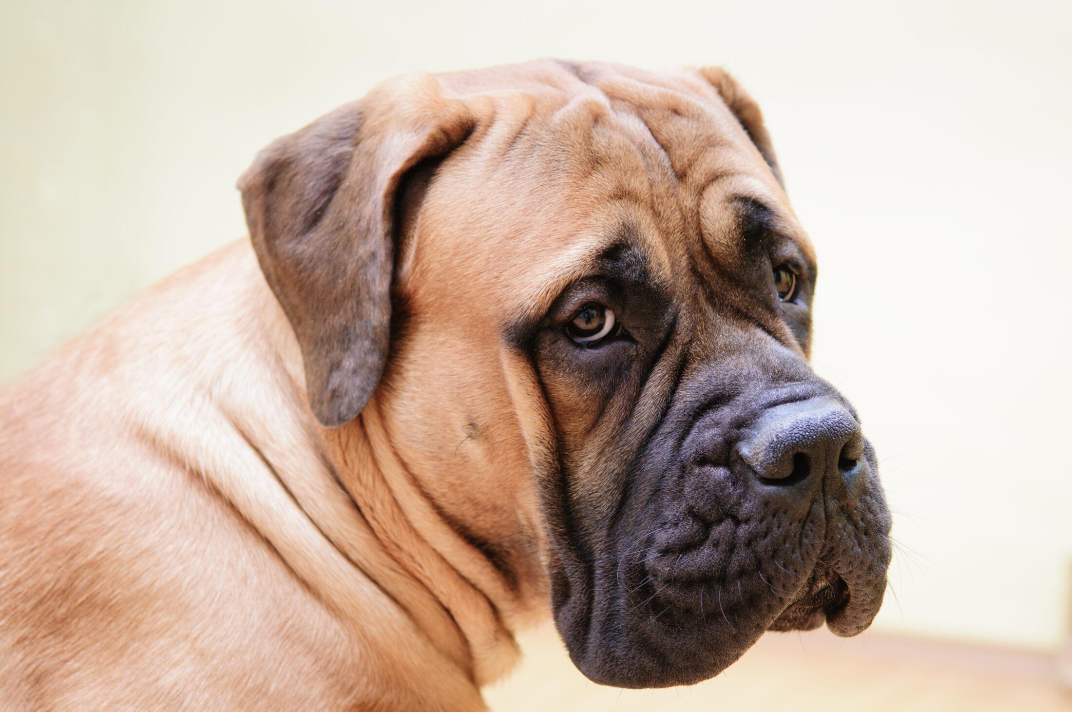 Raça de Cachorro Grande: Bulmastife